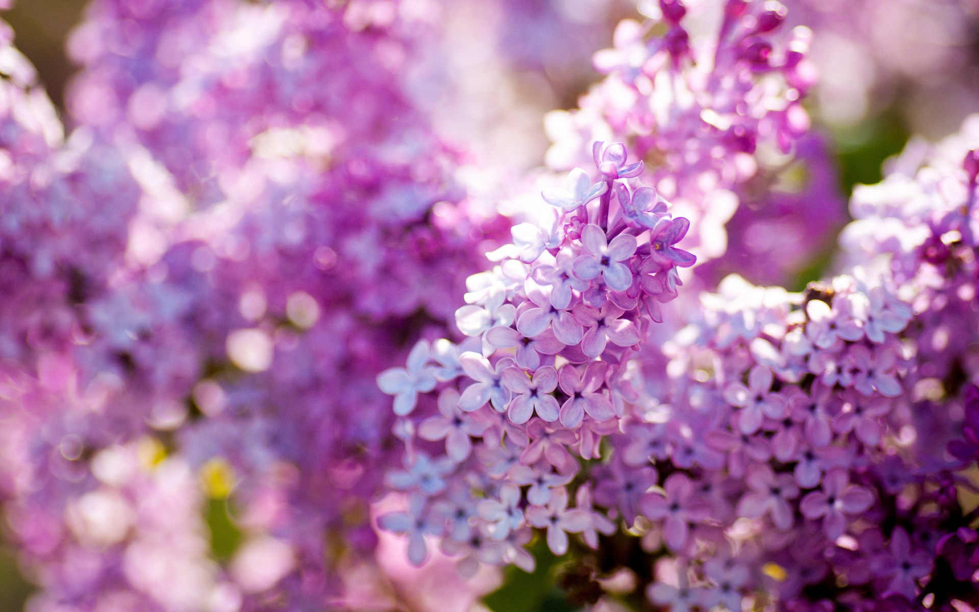 Lilac Nature Flowers