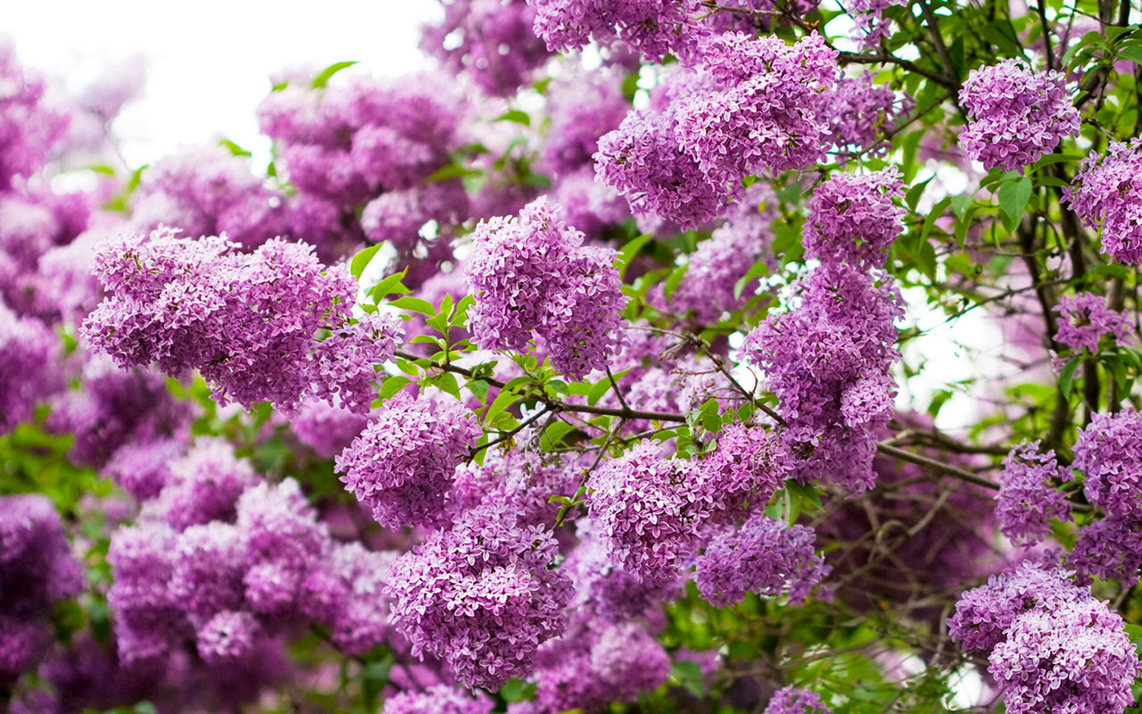 Lilac Flower Wallpaper