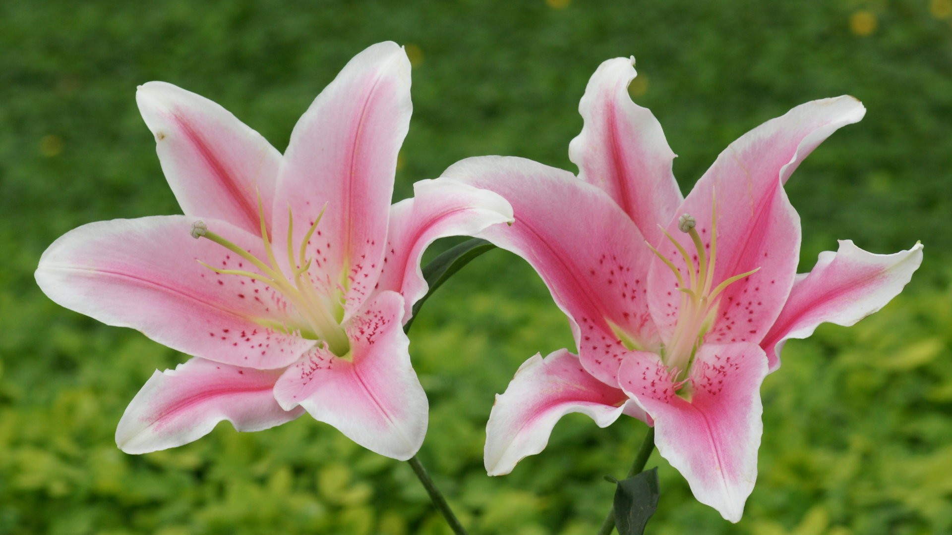 Lily Flower 4 Beautiful HD