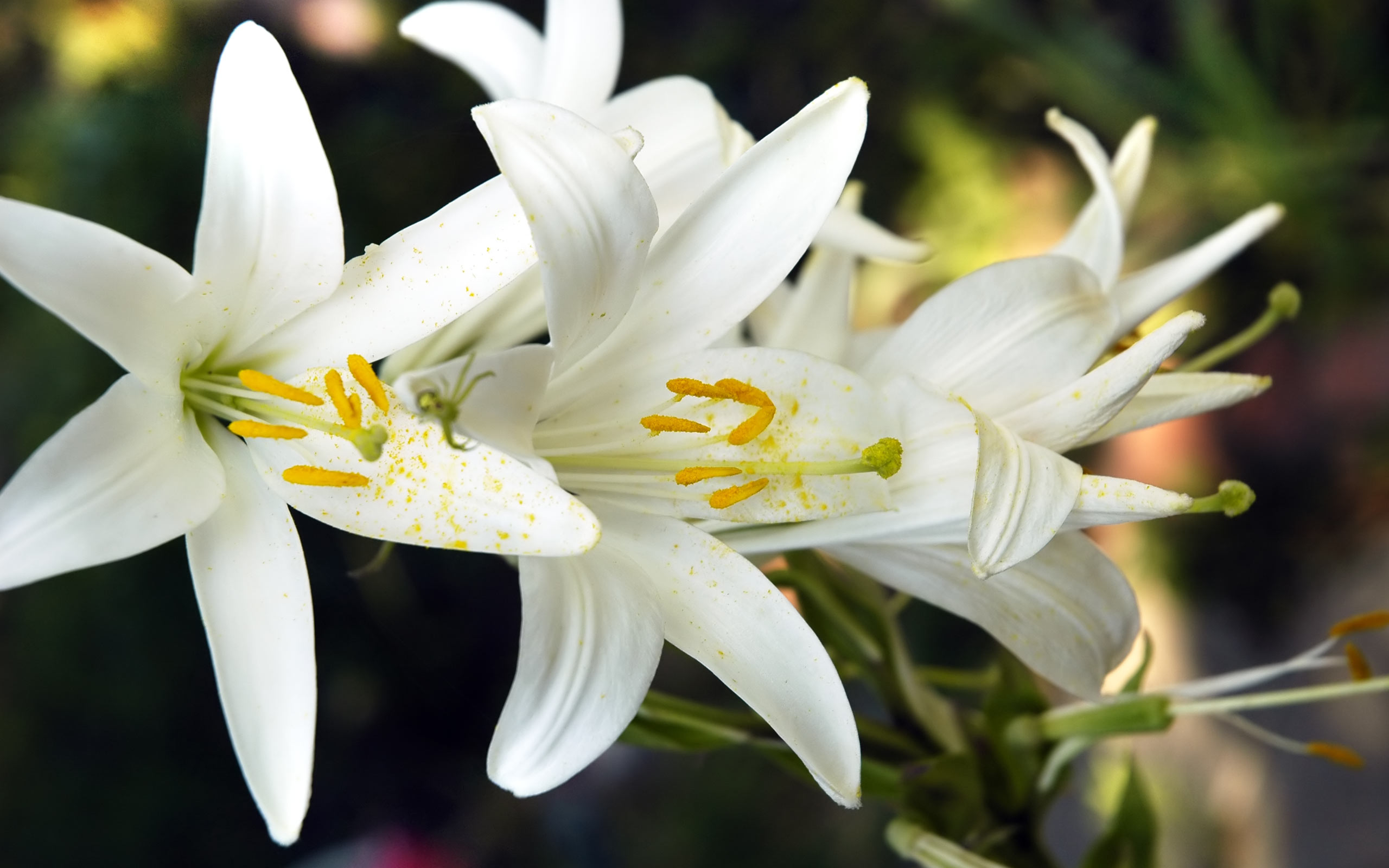 Beautiful Lily Flower Wallpaper
