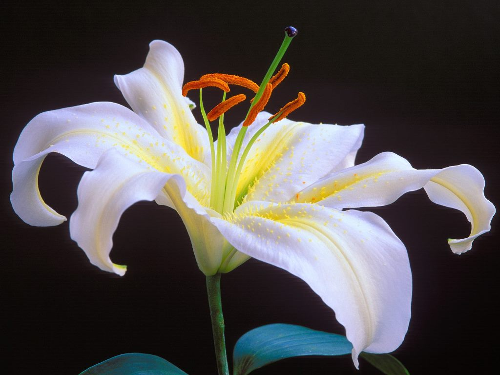 Lily Flower Images 26 HD Wallpapers