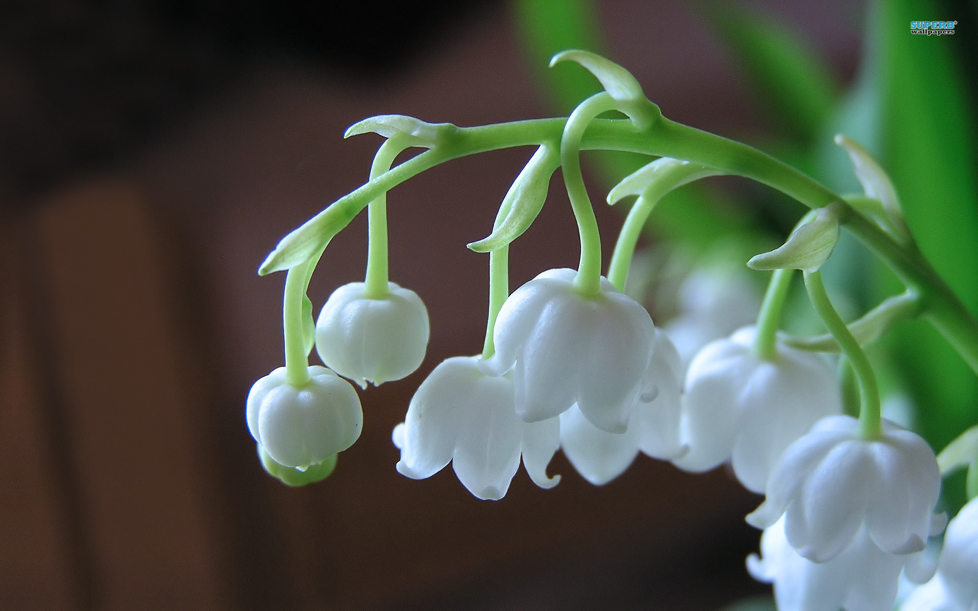 Lily of the valley #02 Image ...