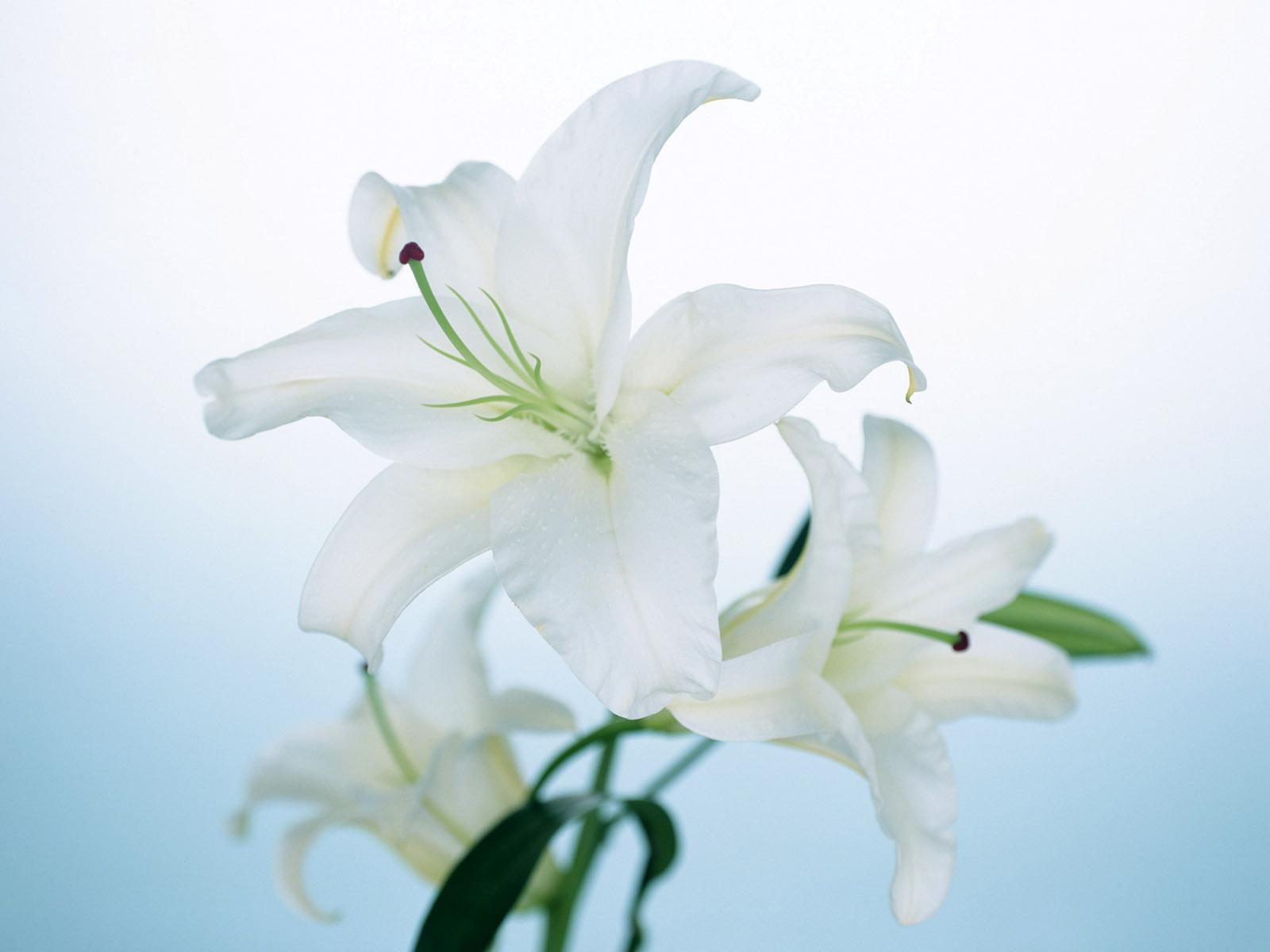 Beautiful Lily Wallpaper