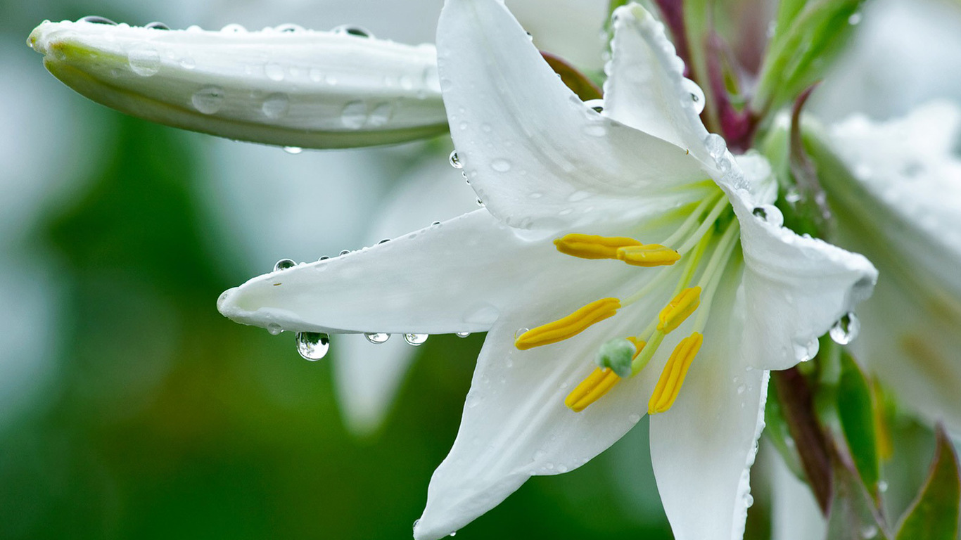 White Lily Flowers