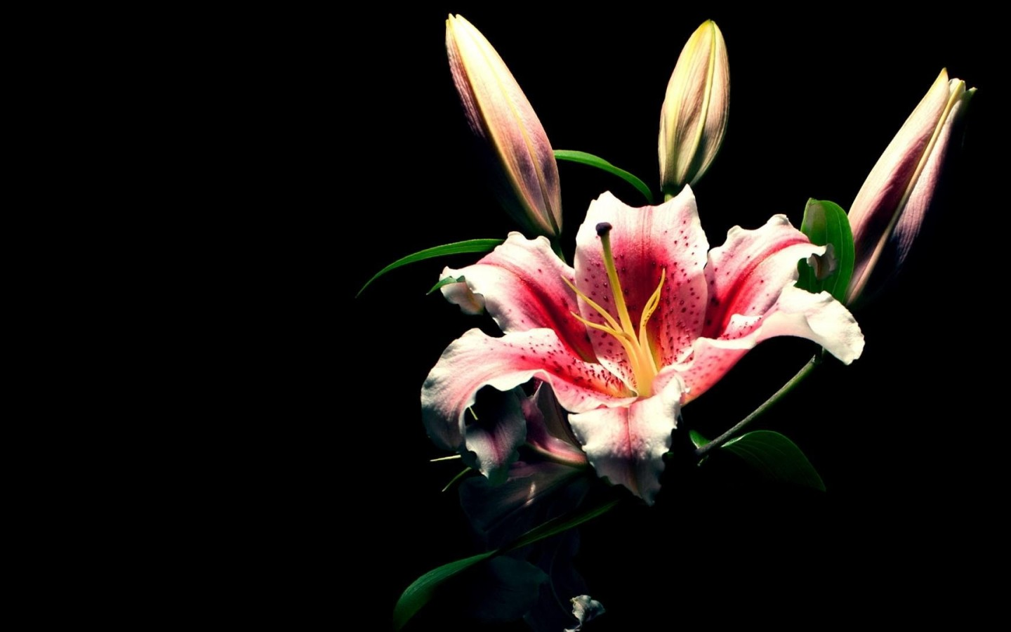 Lily Flower Wallpaper Picsopedia