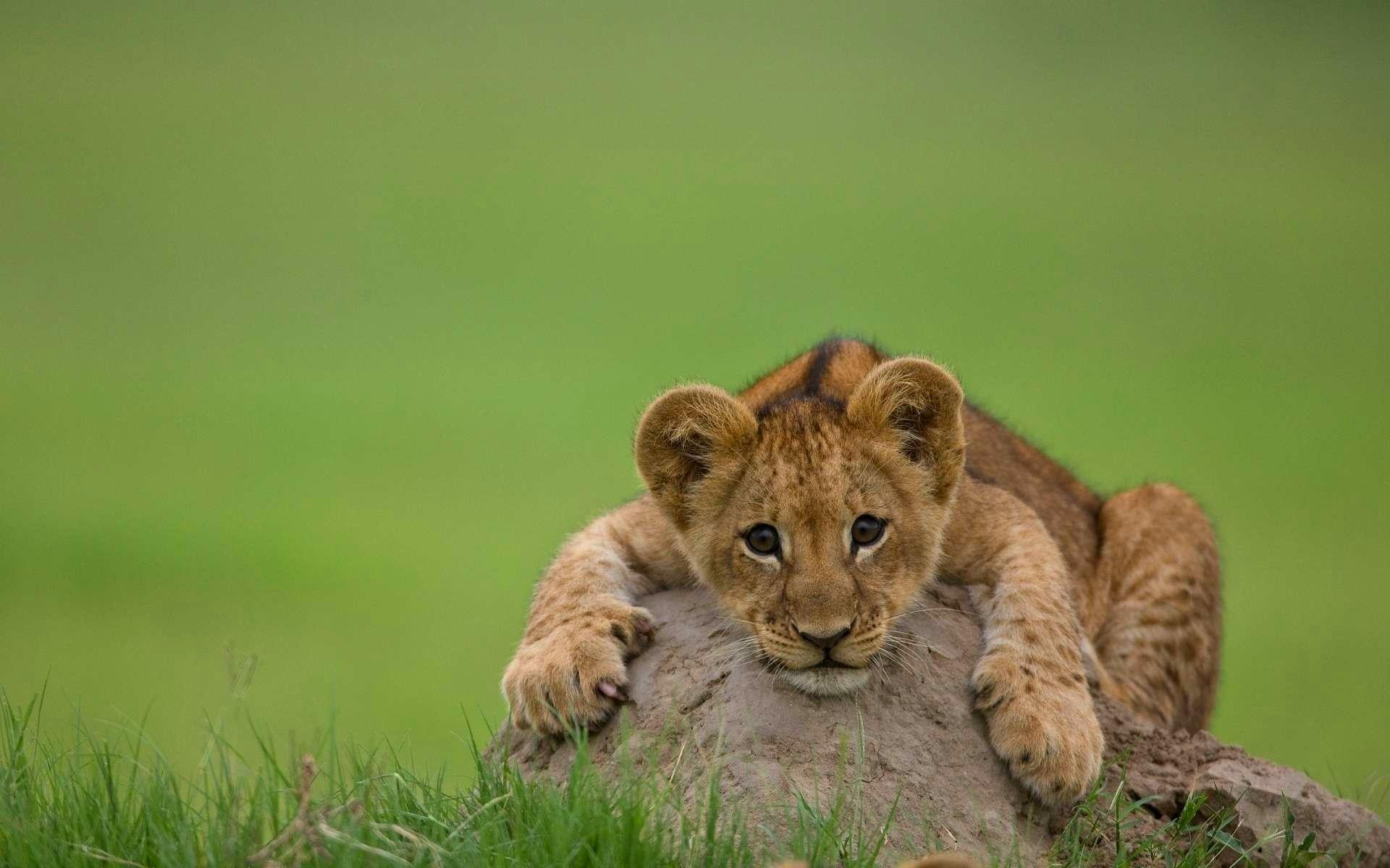 Lion cub cute