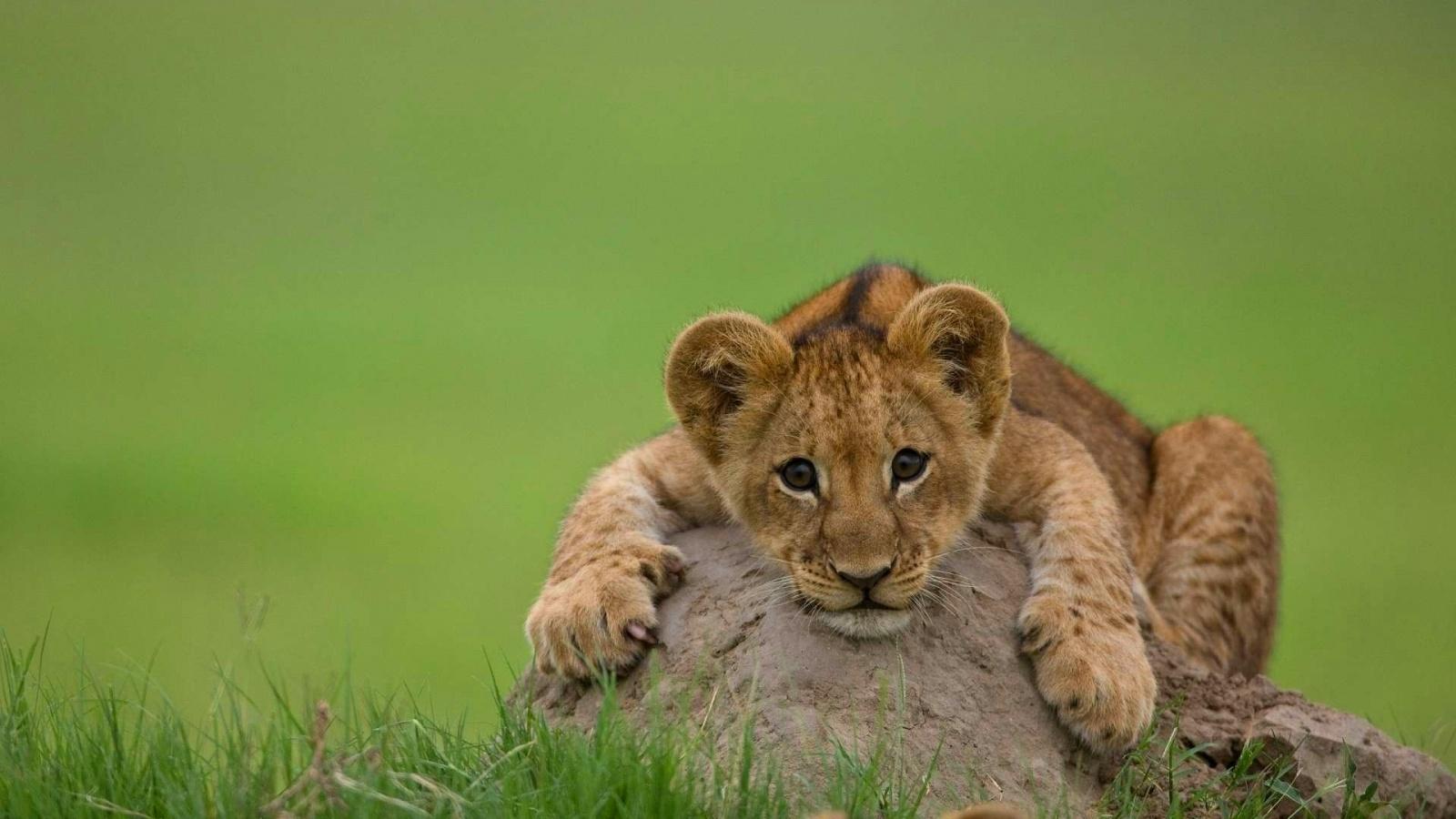 Lion cub hd