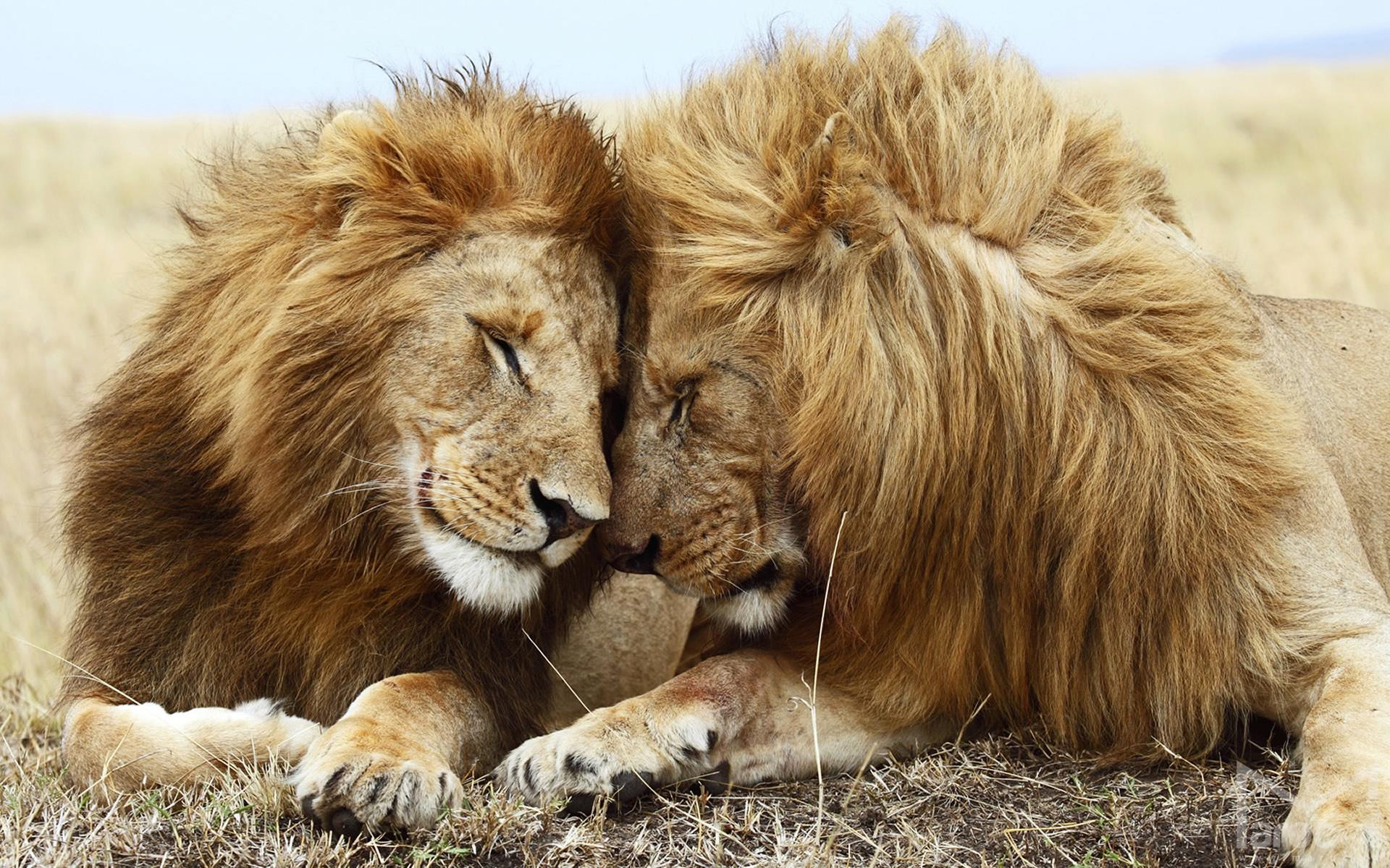 Lions Cuddle