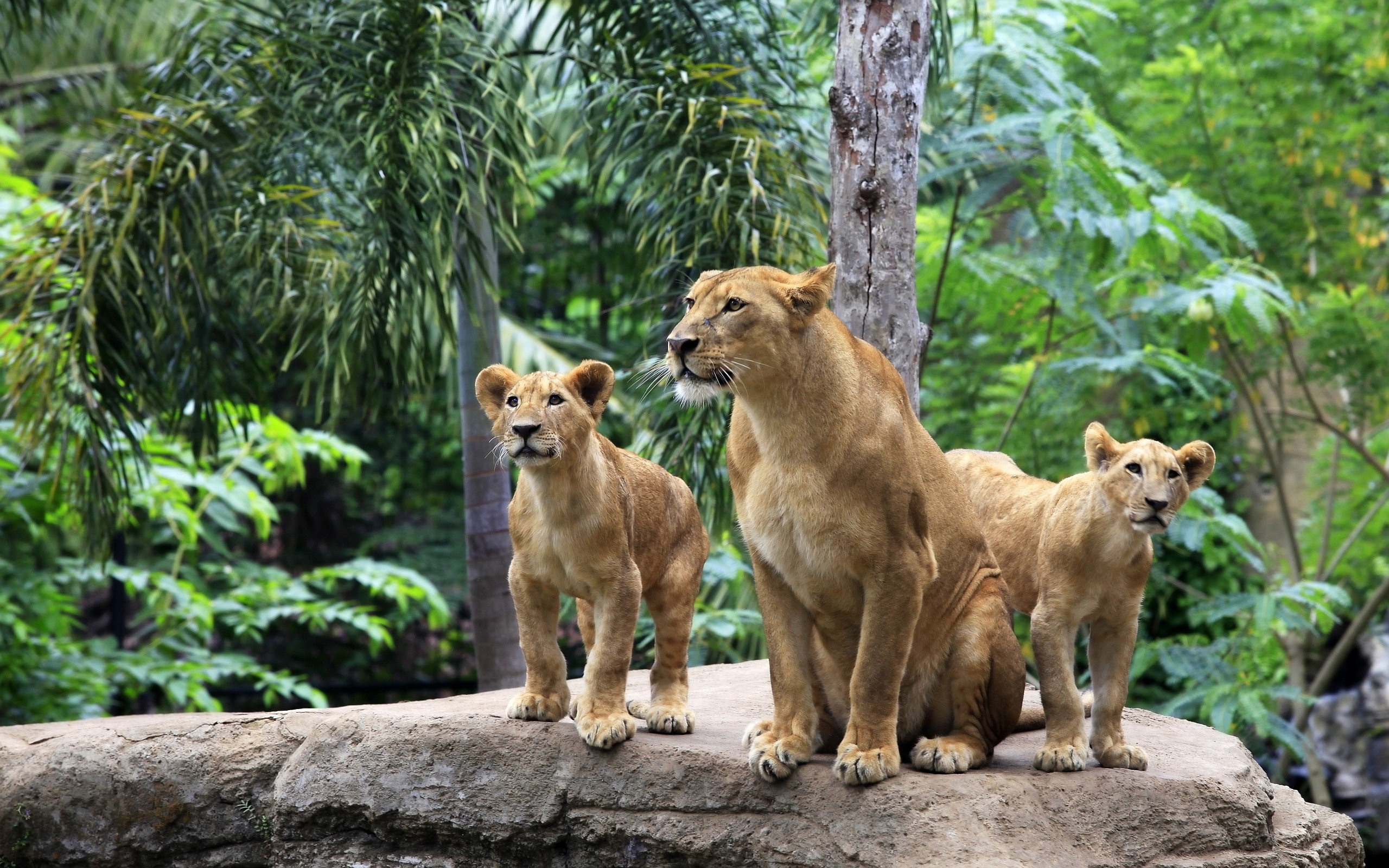 Lion family forest