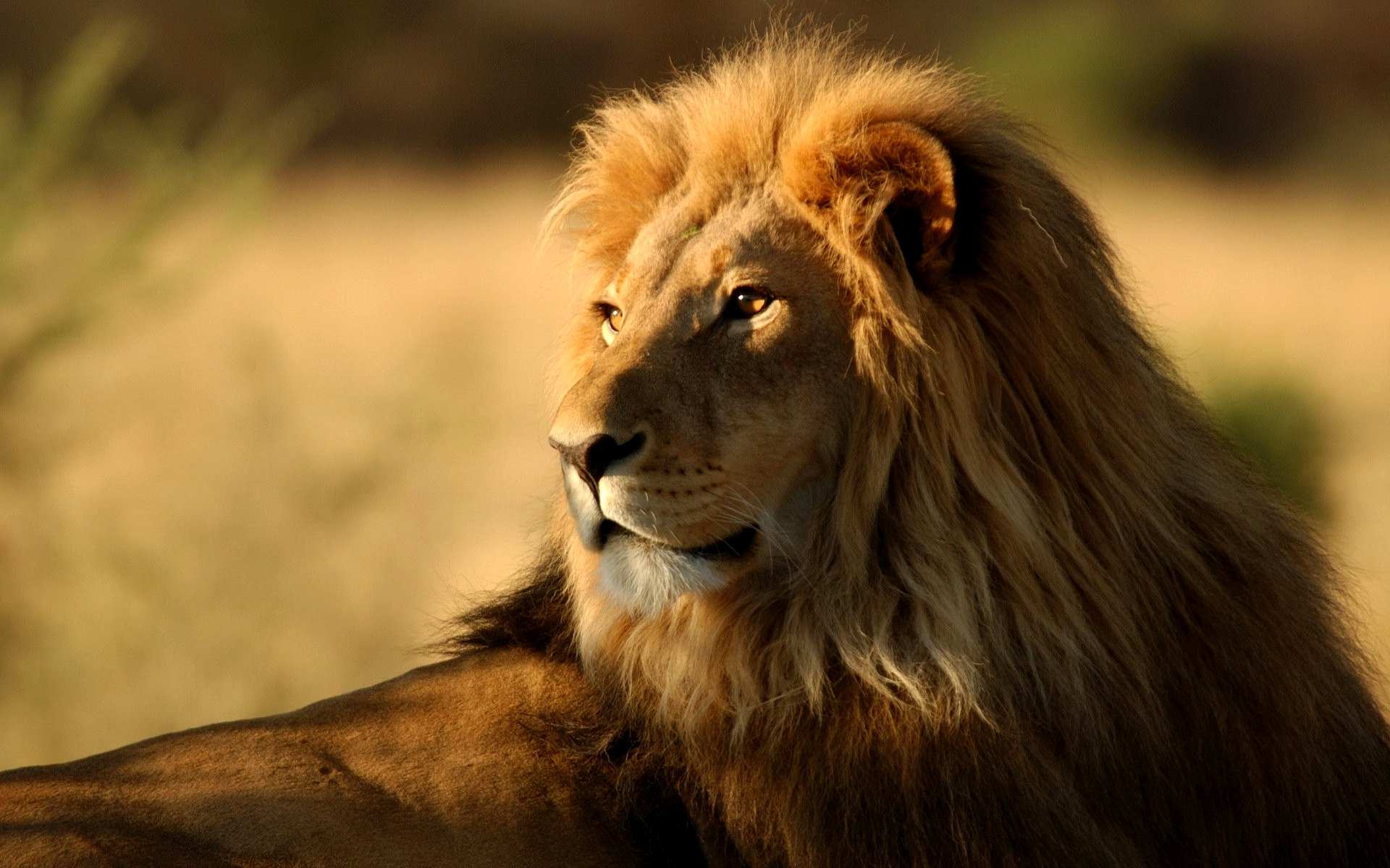 HD Wallpaper | Background ID:101527. 1920x1200 Animal Lion