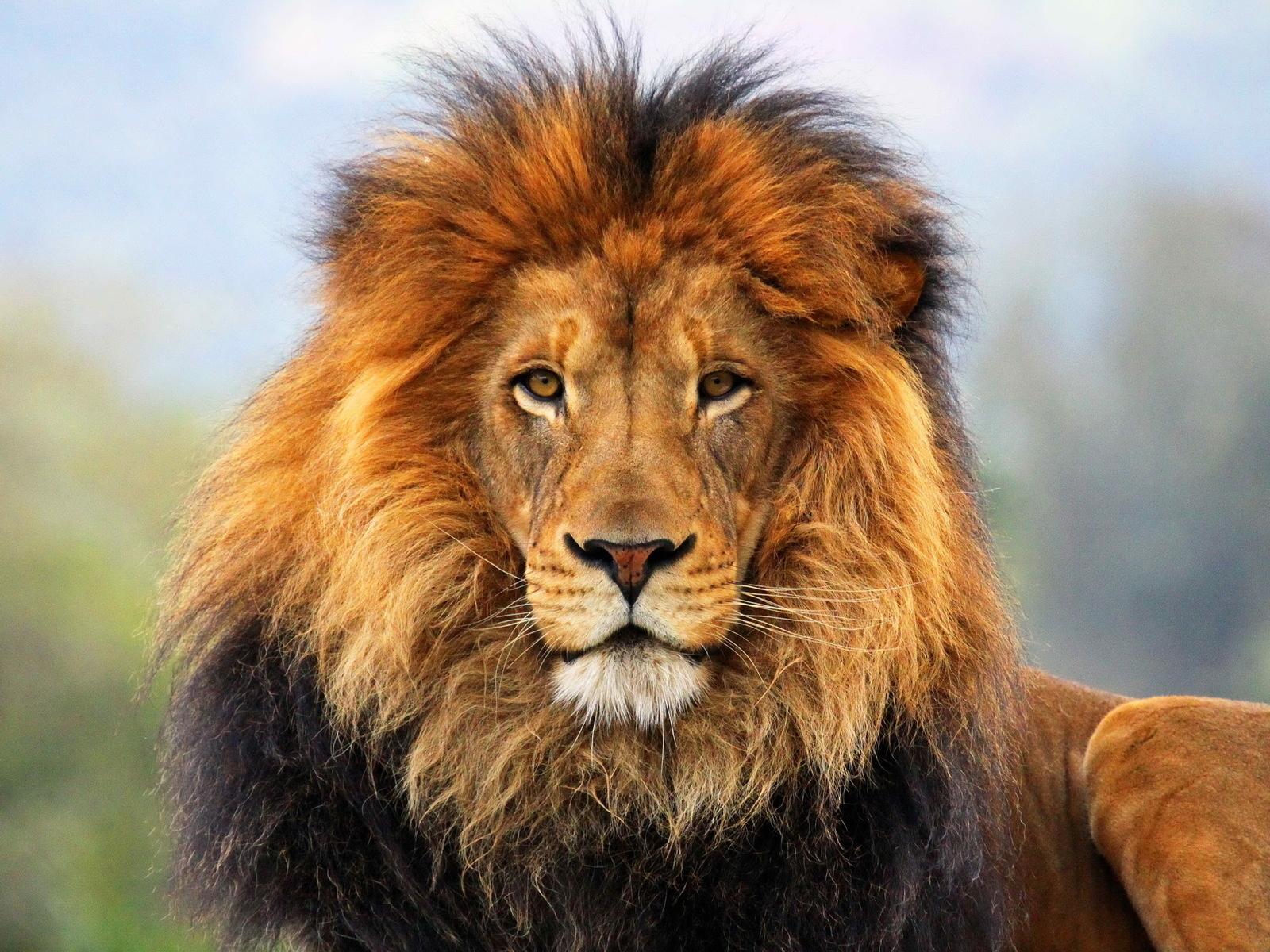 Lion Wallpaper Cool Cover For Windows 256 Backgrounds
