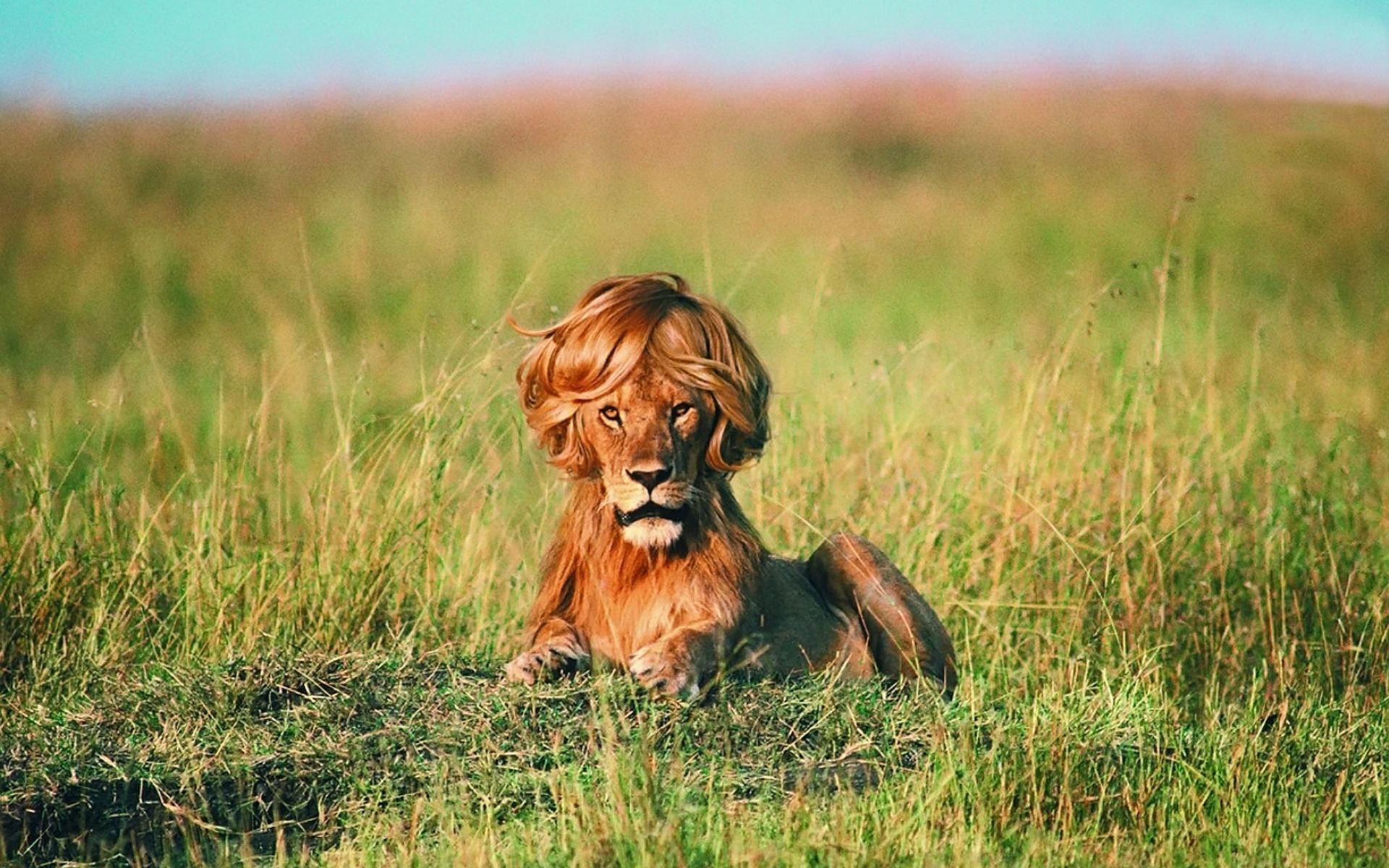 Lion with Wig