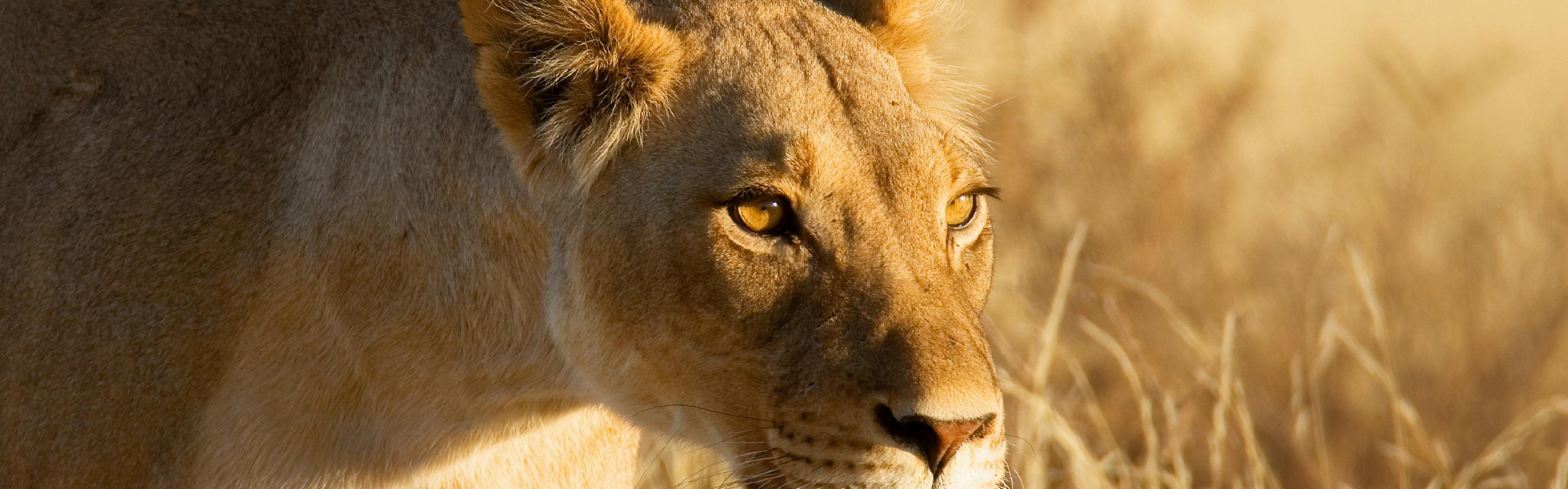 Lioness Background