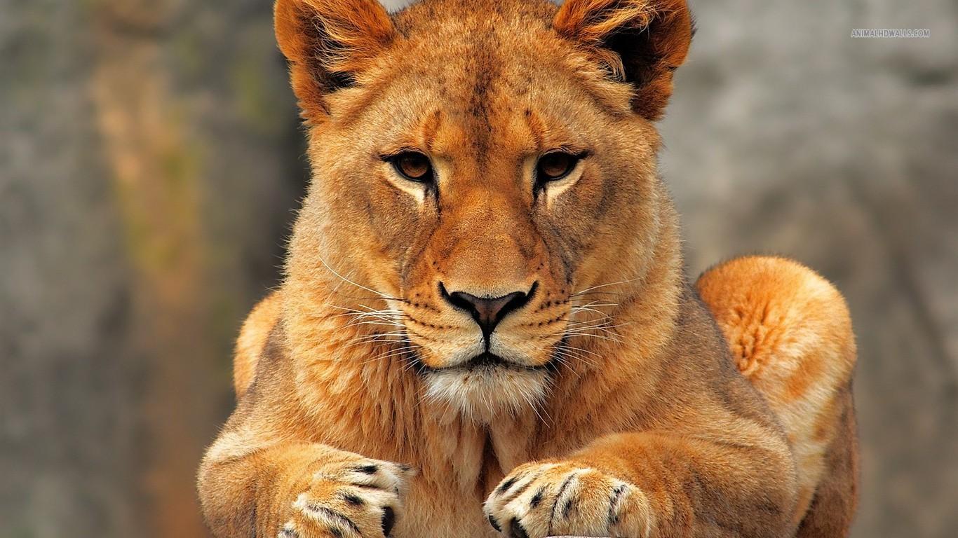 Lioness 06