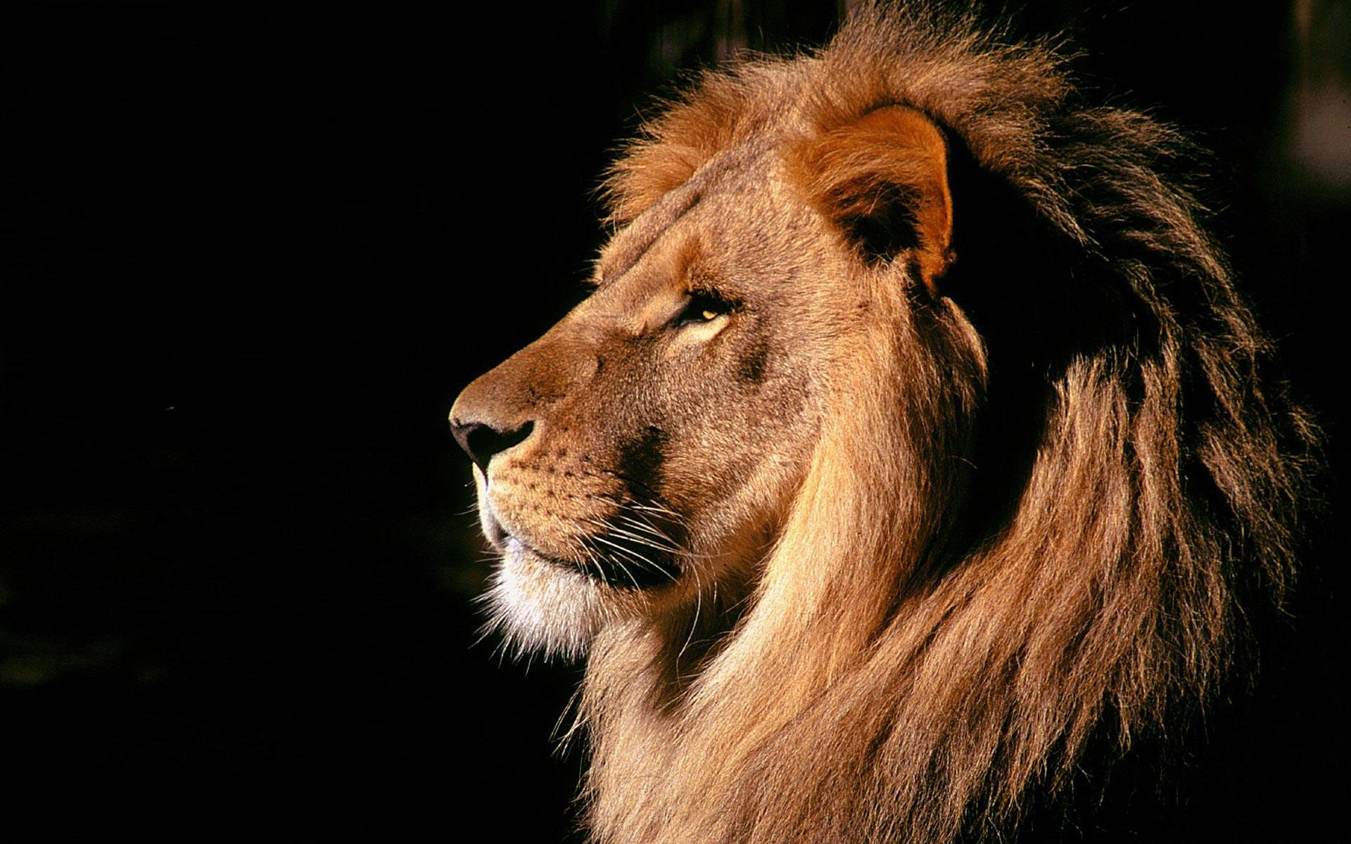 Roaring lion of the majestic look in the Photographs always stands as the Knig of the Jungle in the mind of people and beautiful photographs without doubt.