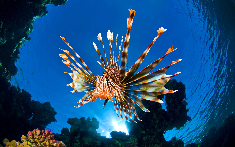 Lionfish retina