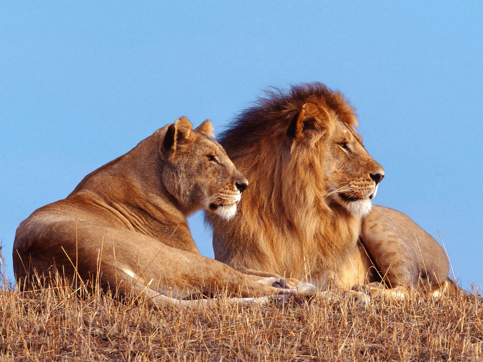 Male and Female Lions HD Wallpaper