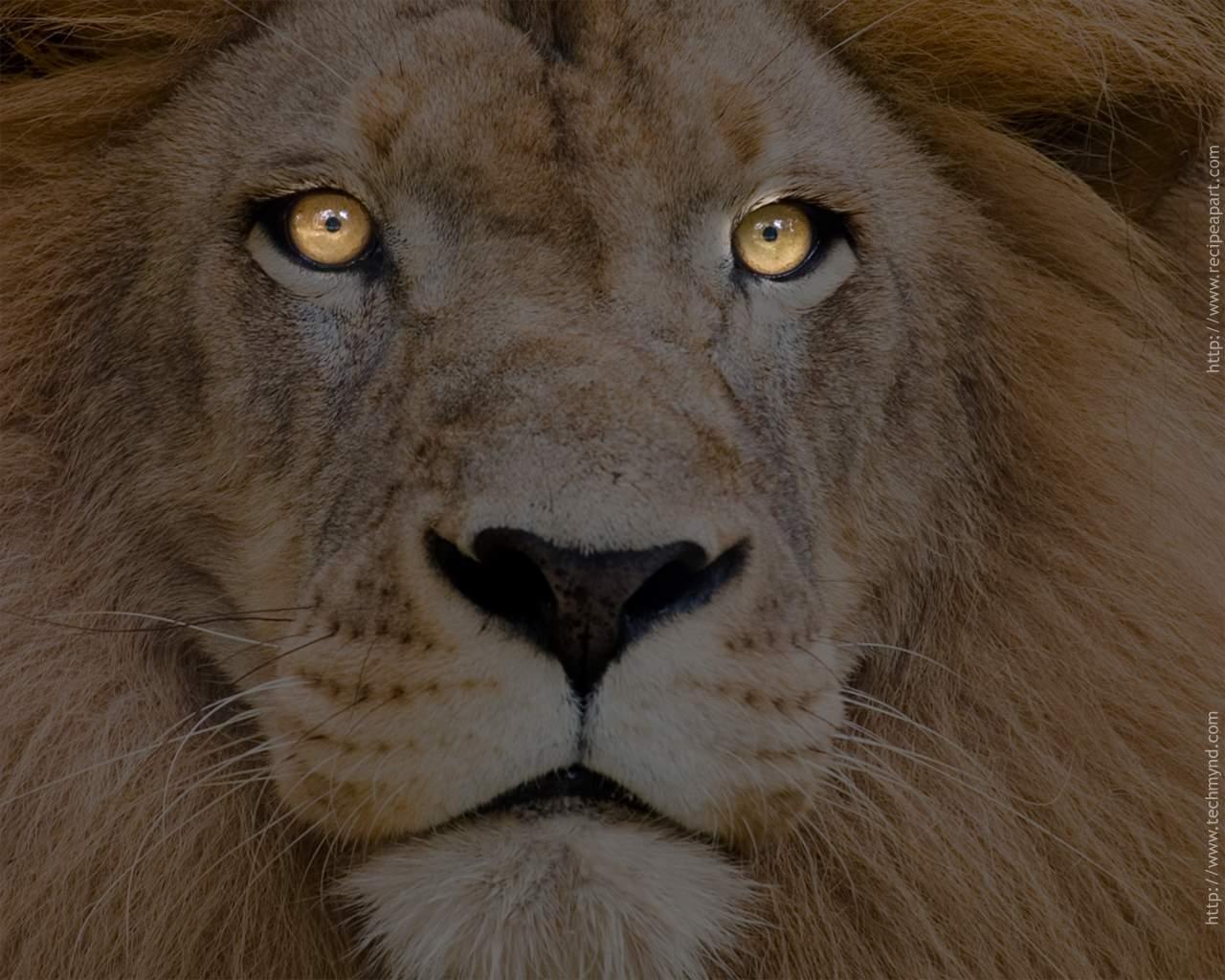 HD Wallpaper | Background ID:103263. 1280x1024 Animal Lion