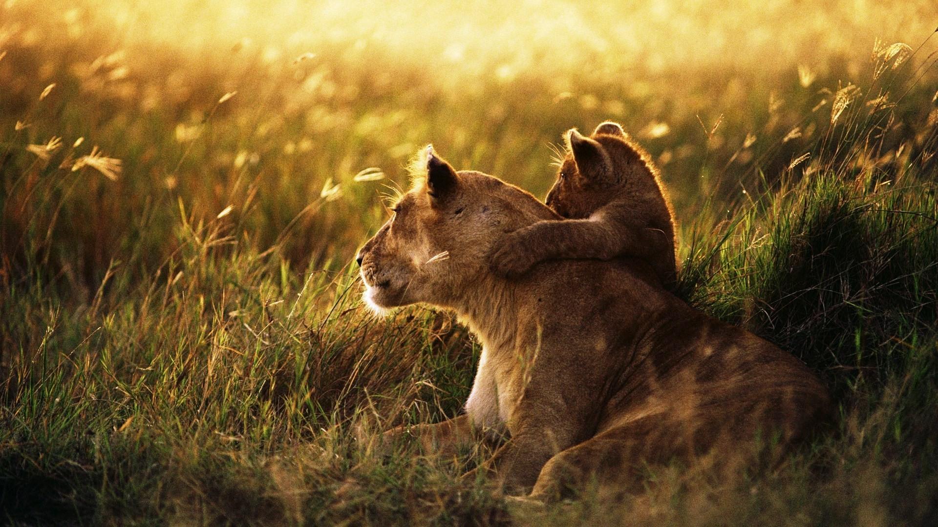 Pics Of Lions Wallpaper