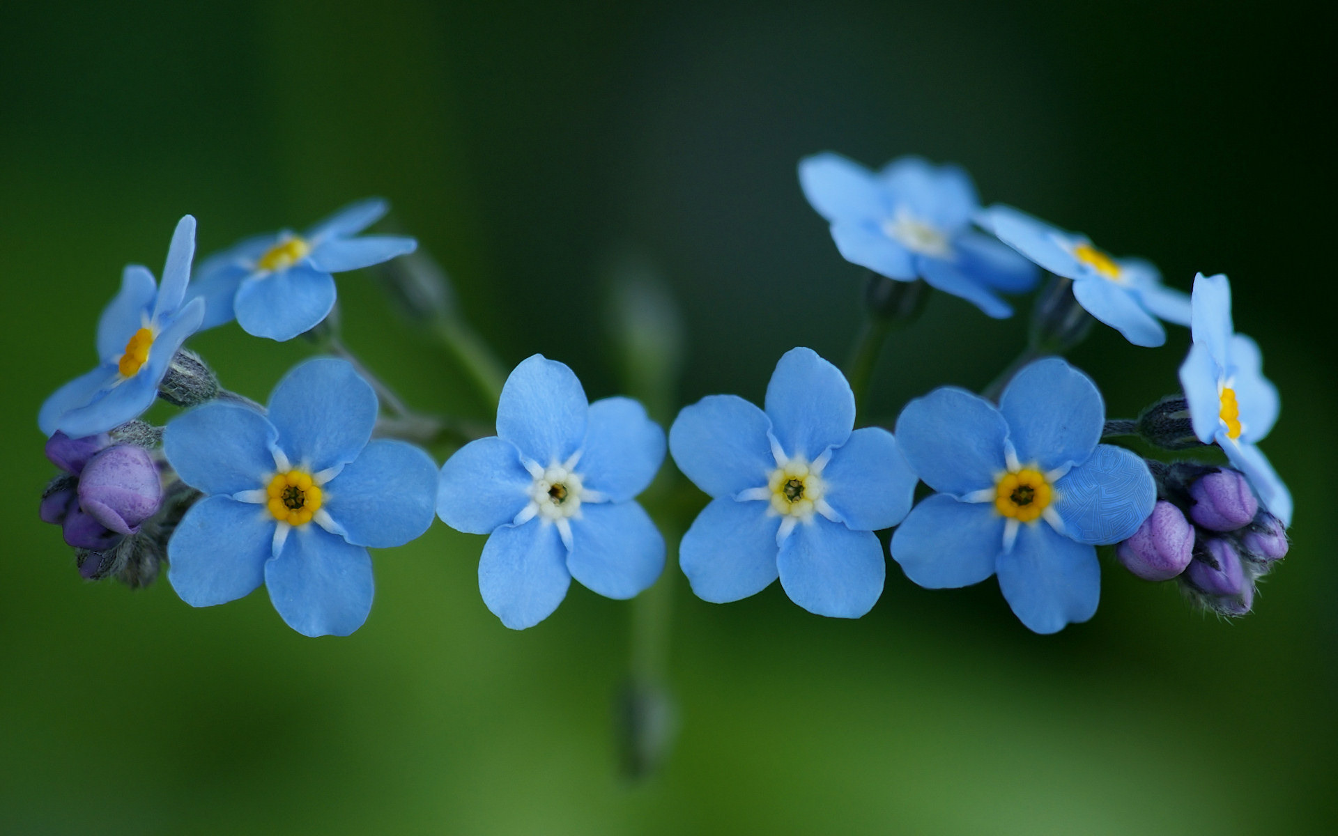 original wallpaper download: Beautiful little flowers forget-me - 1920x1200