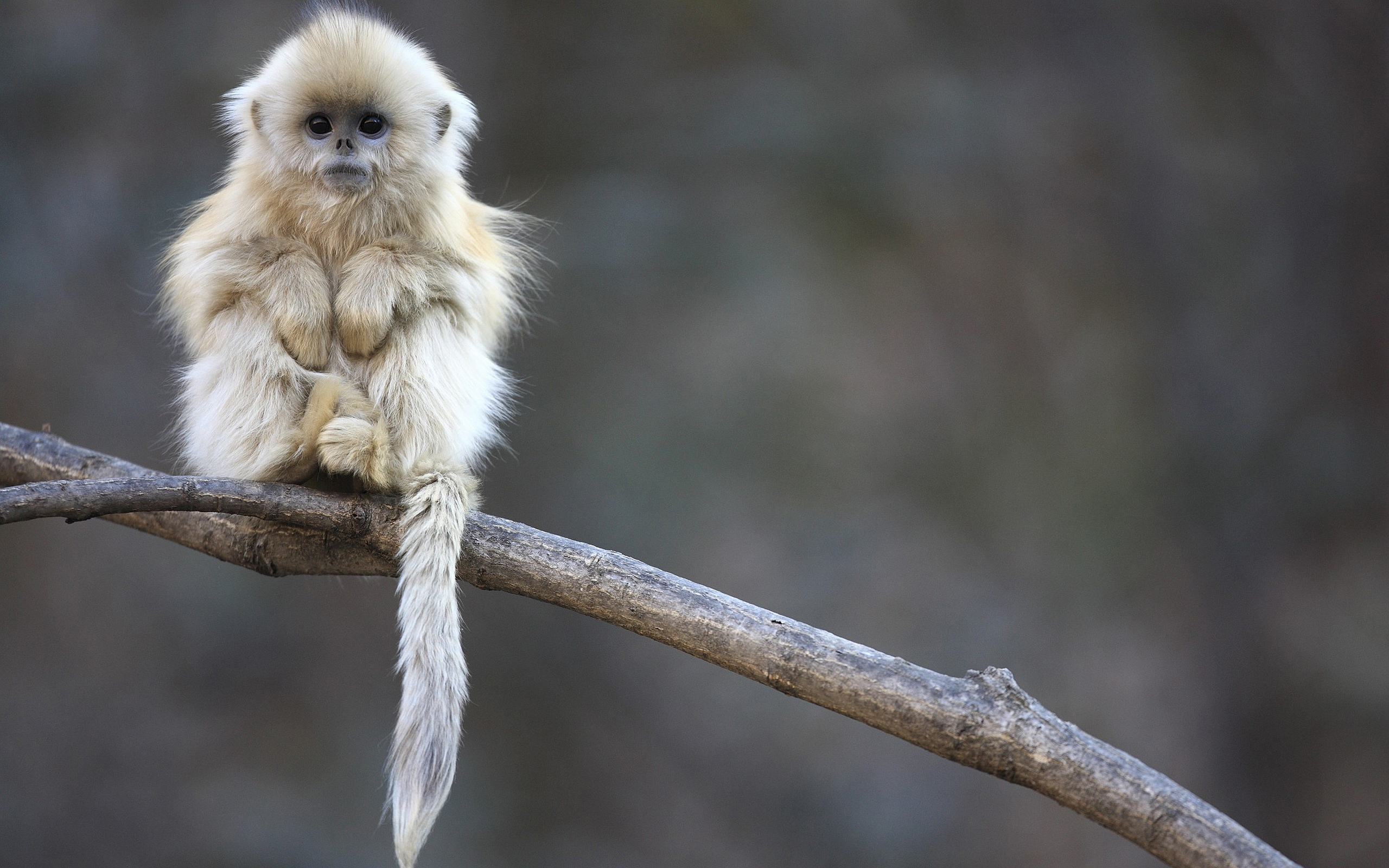 Little fluffy Monkey