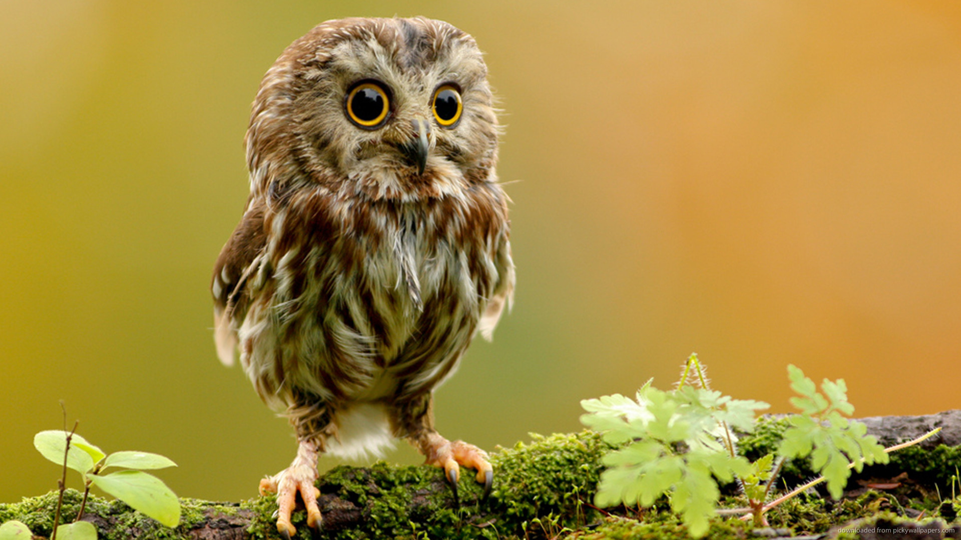 ... Cute little owl for 1920x1080