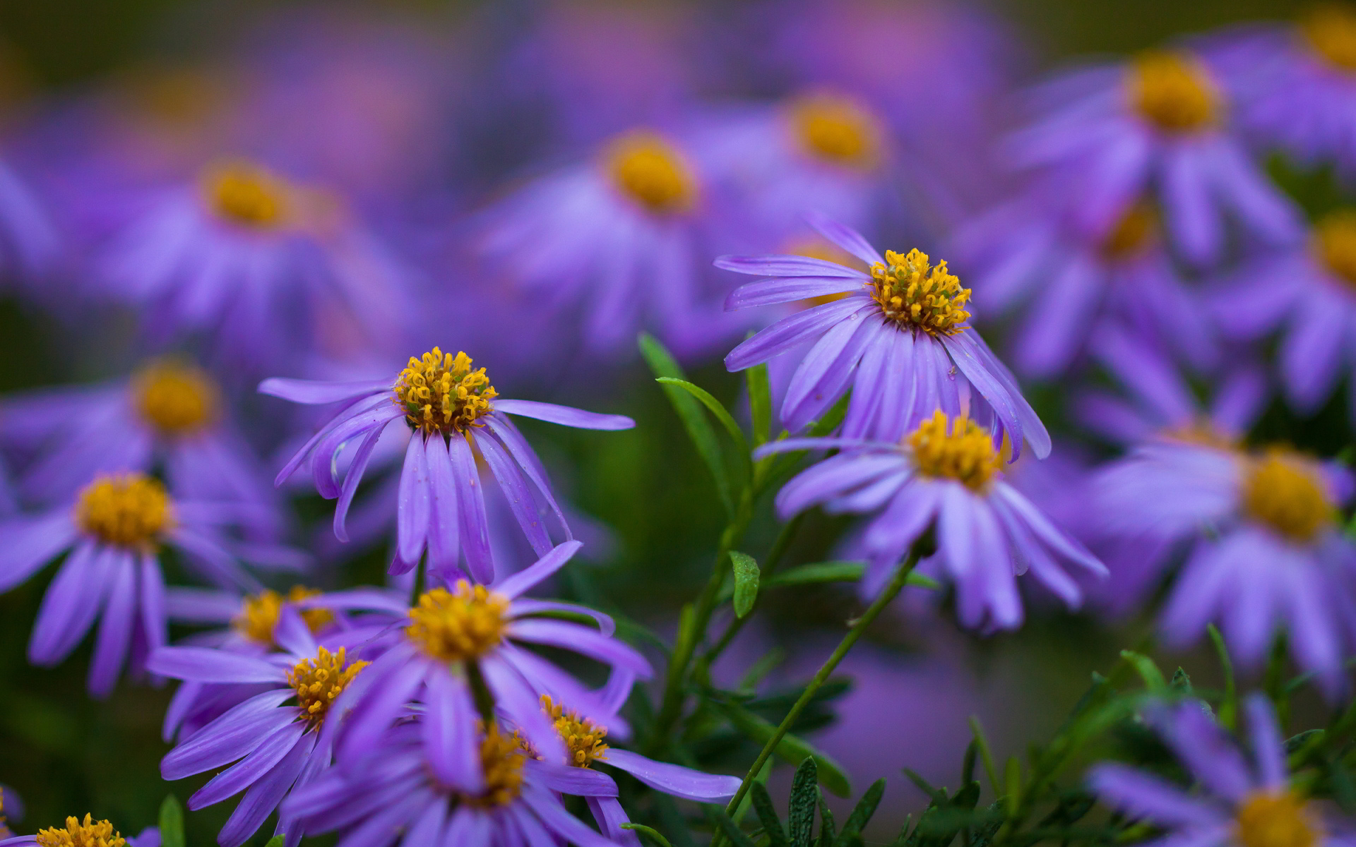 LITTLE PURPLE FLOWERS HD