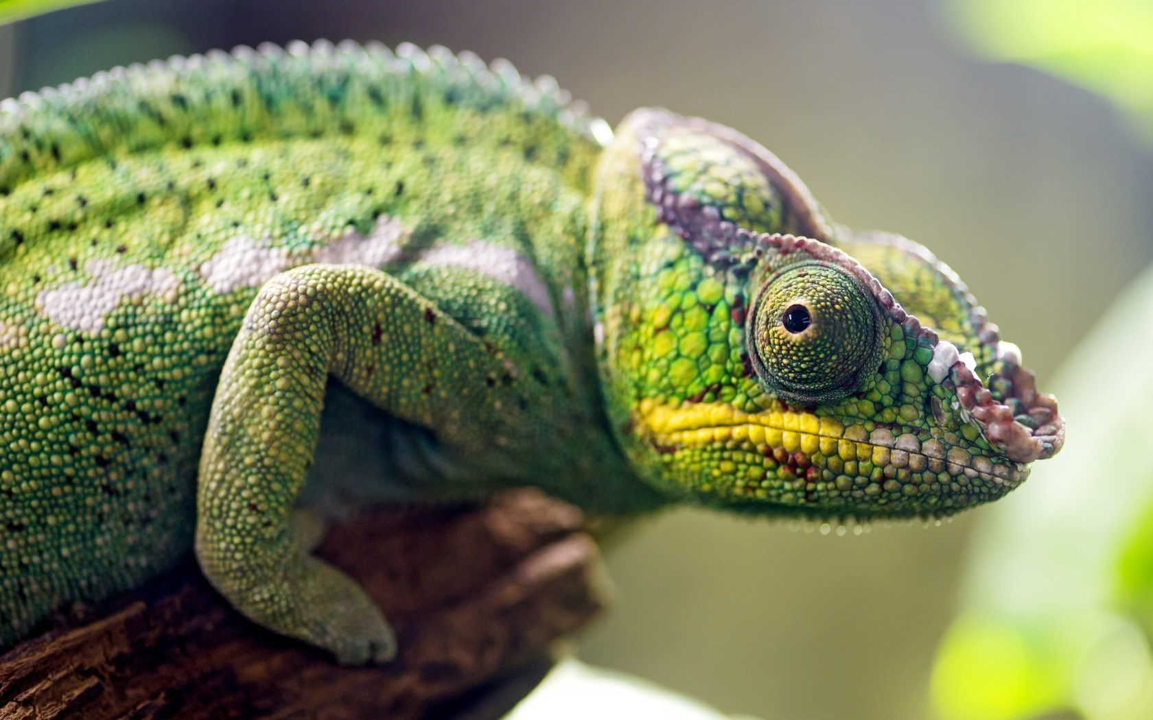 Chameleon Lizard Close-Up
