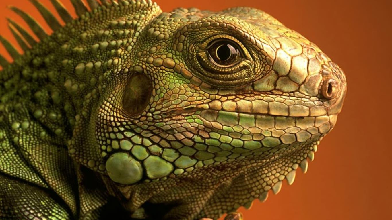 Lizard HD