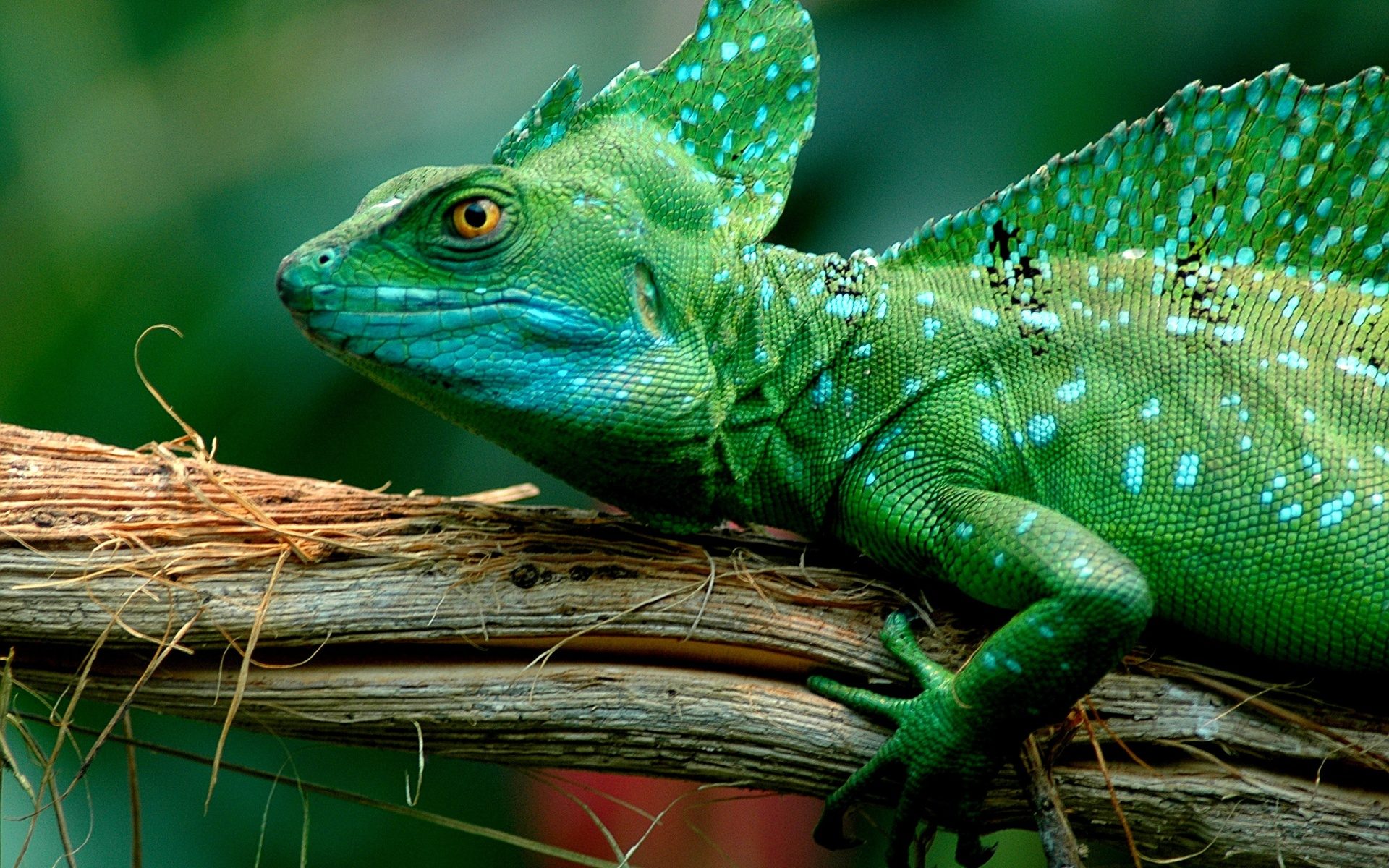 Download Rainbow Lizard Iphone Wallpaper