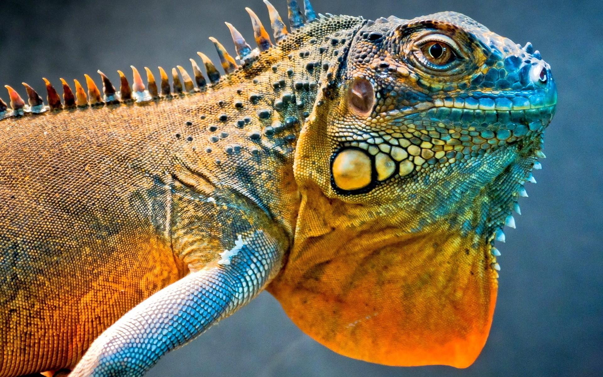 HD Wallpaper | Background ID:317074. 1920x1200 Animal Lizard