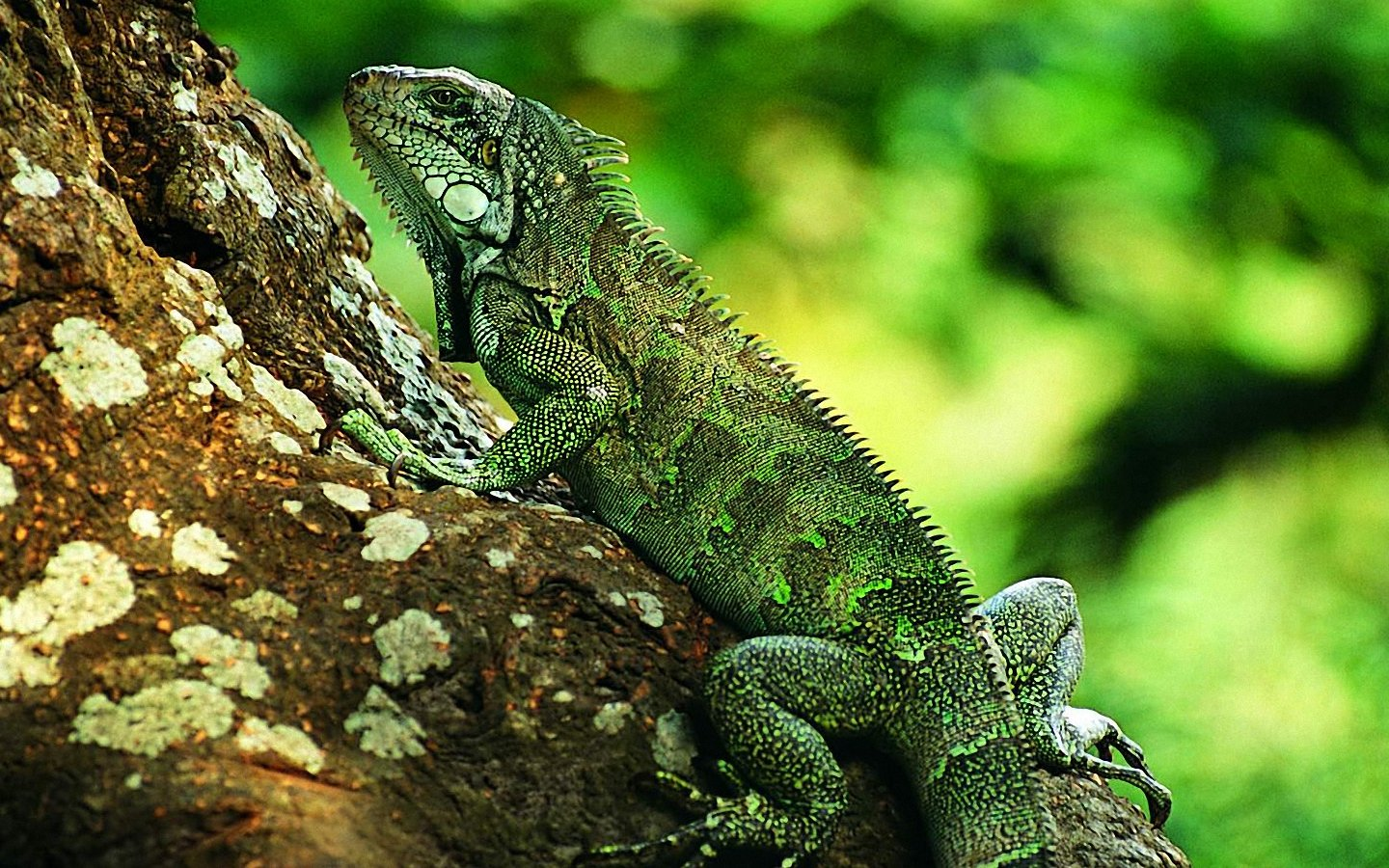 Free Lizard Wallpaper 13144