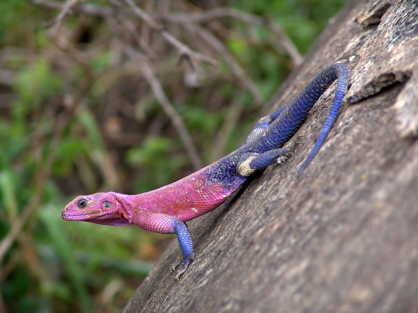 Flat Headed Rock Agama lizards 28572033 1600 1200 600x450 lizards