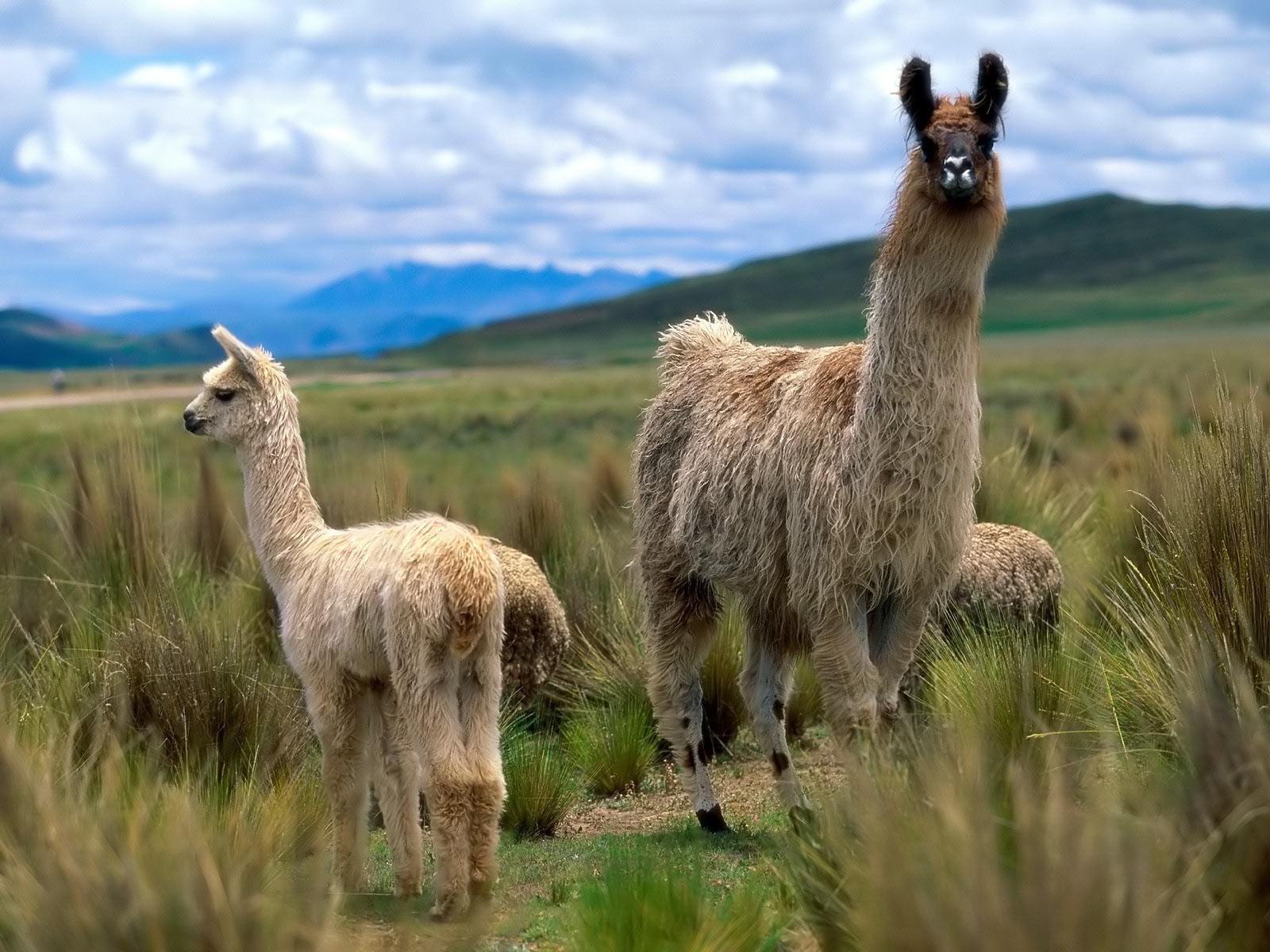 Alpacas and Llamas Llama wallpapers!