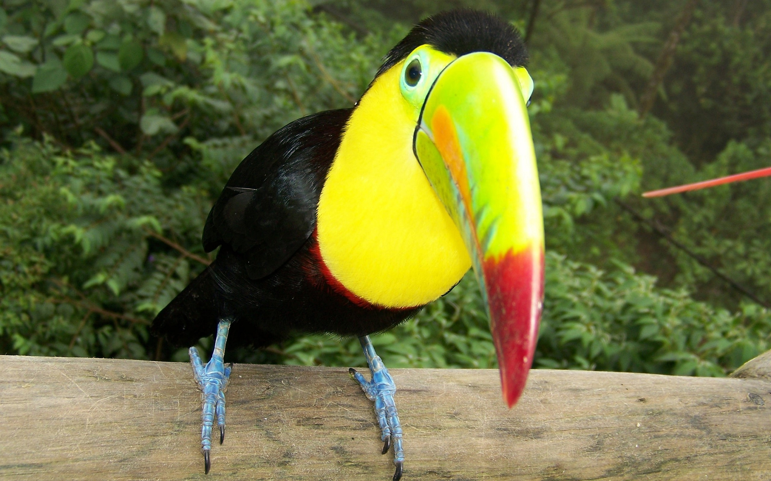 Looking Toucan