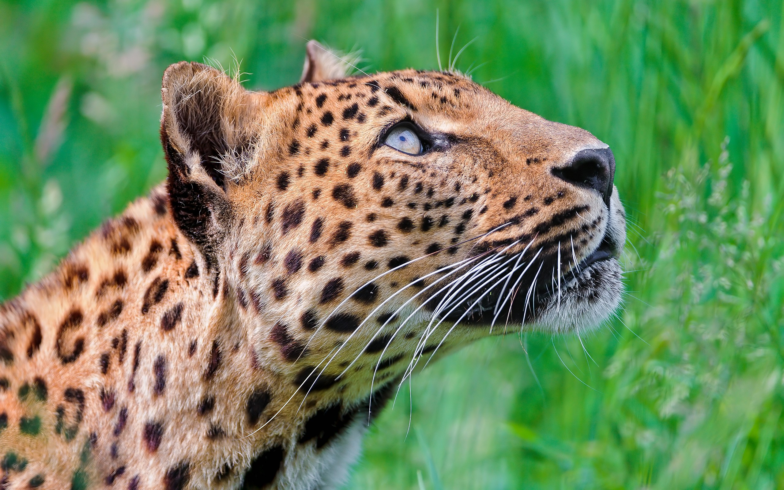 Looking up Leopard Wallpapers Pictures Photos Images. «