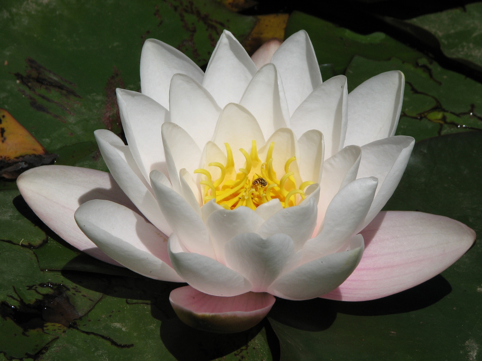 Beautiful new hd wallpapers of lotus flowers full free