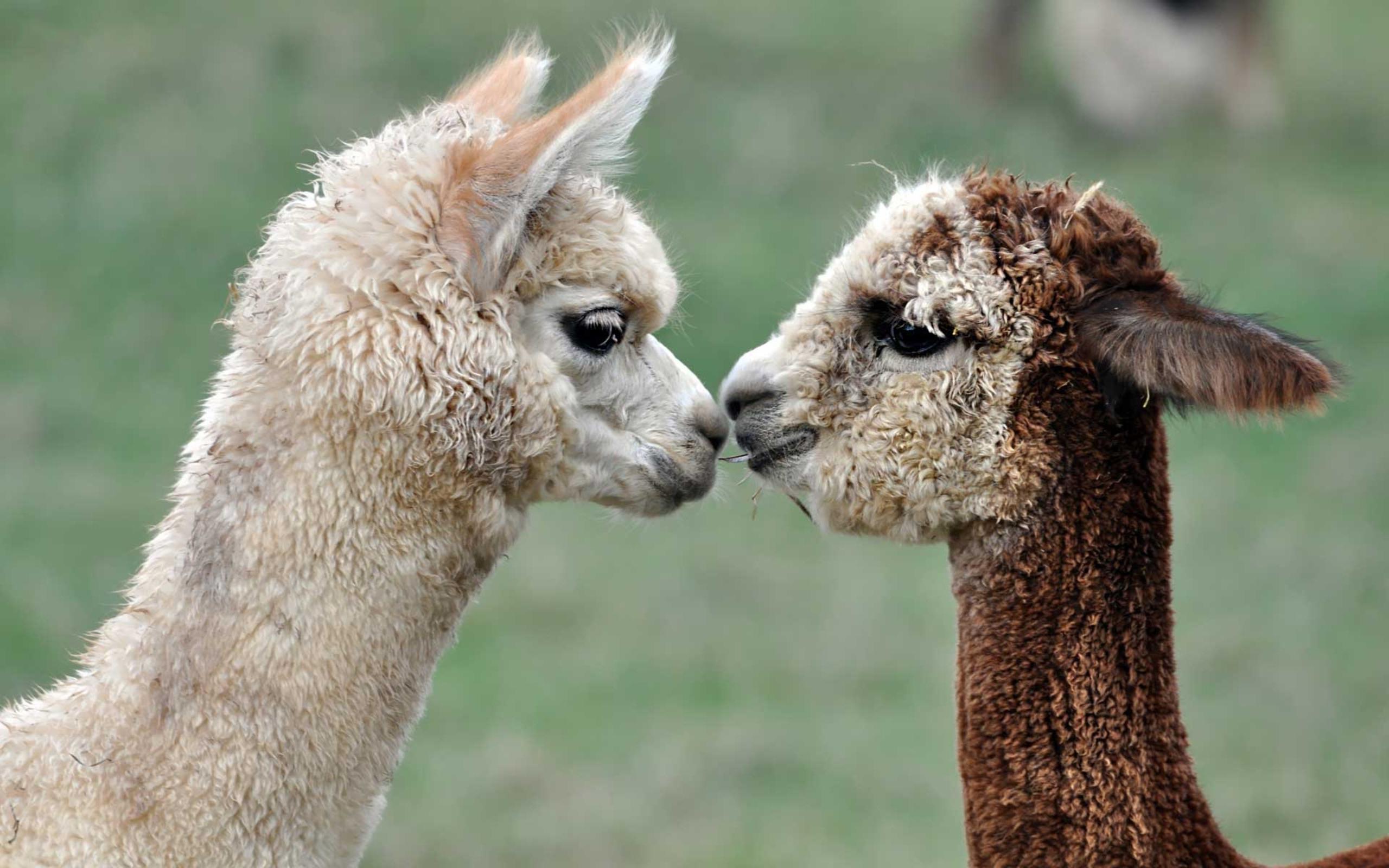 Lovely Alpacas