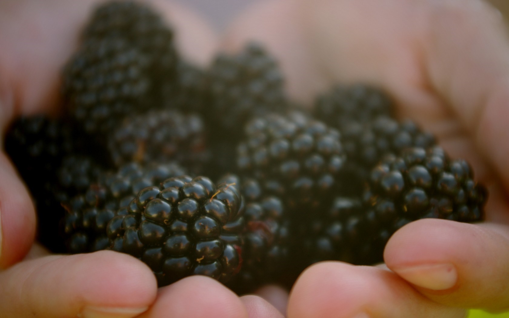Lovely Blackberries Wallpaper 38891 1680x1050 px