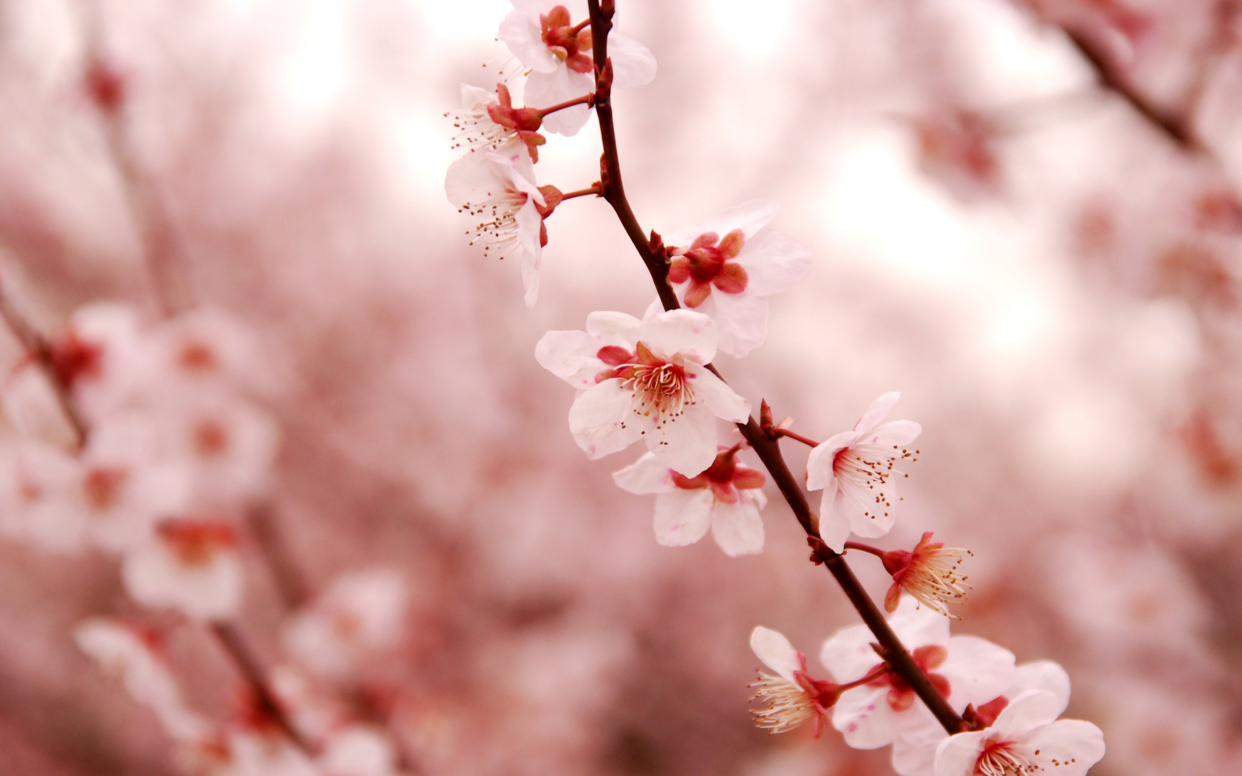 Lovely cherry blossom wallpaper 2560x1600 23207 Cherry blossom pictures