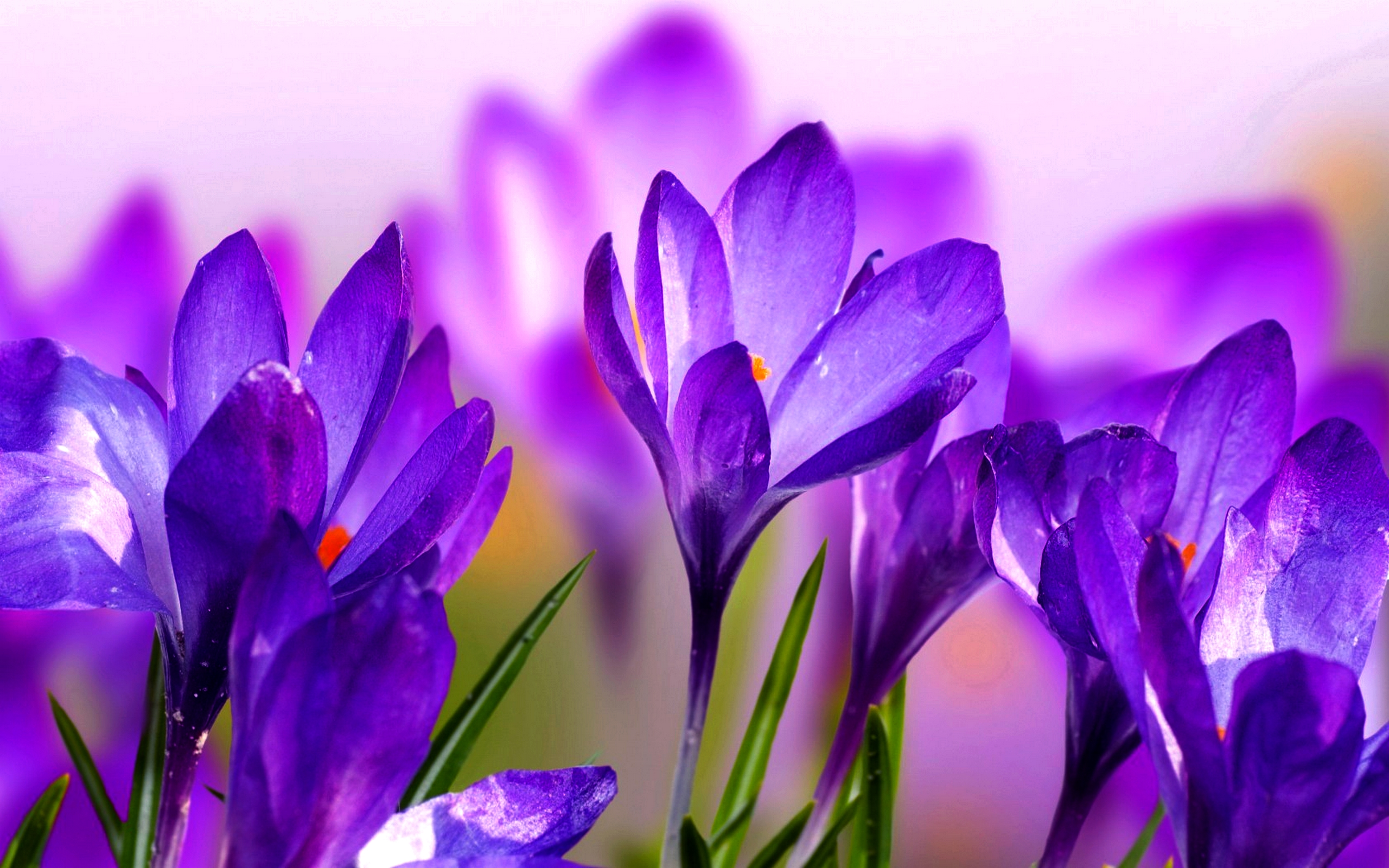 Lovely Crocuses