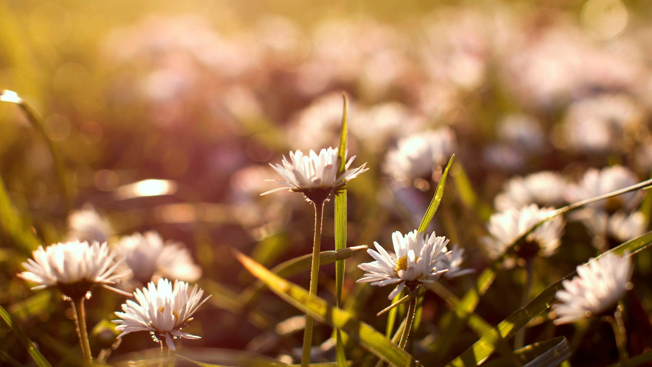 Lovely Daisy Bokeh Wallpaper