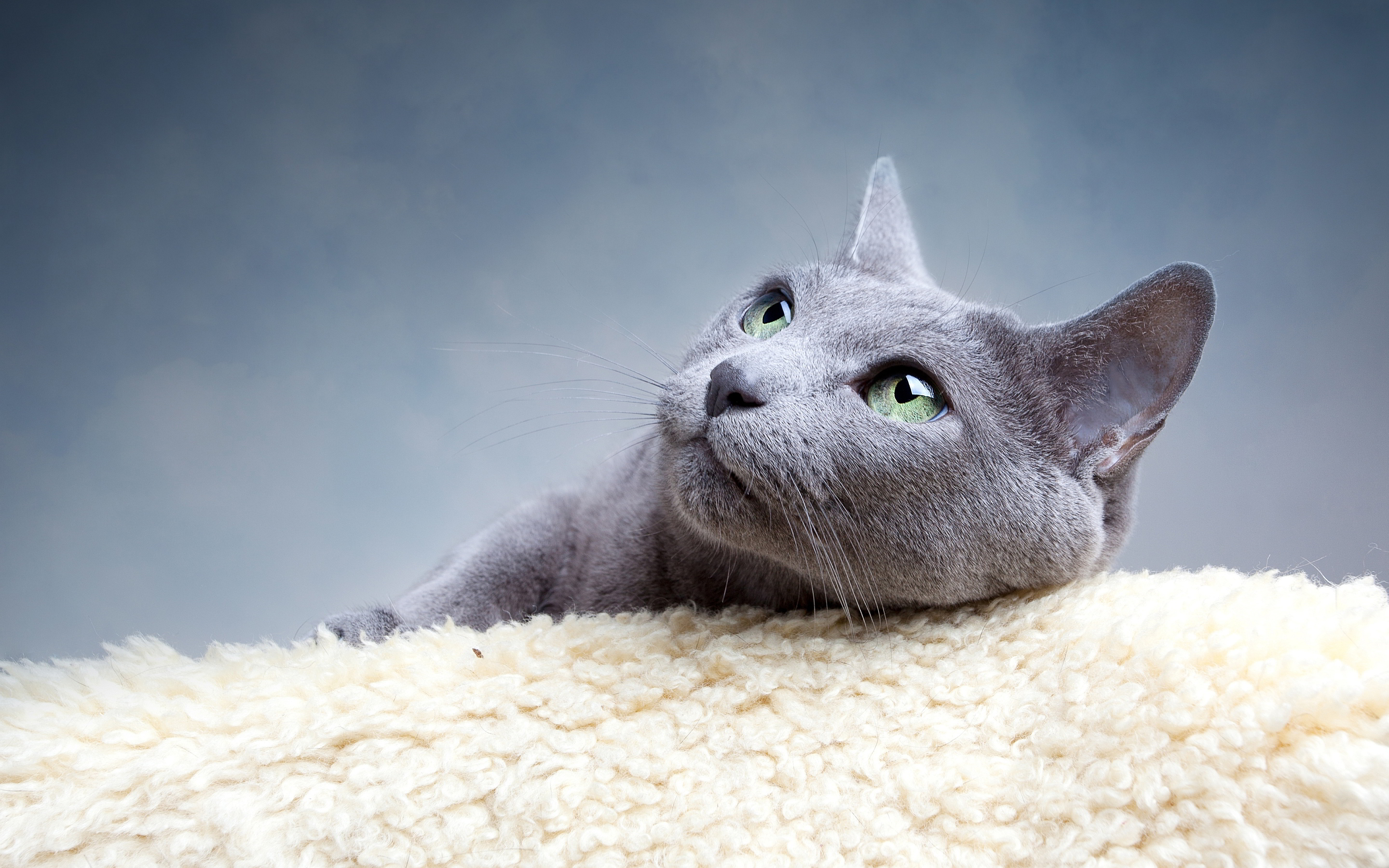 Lovely grey cat