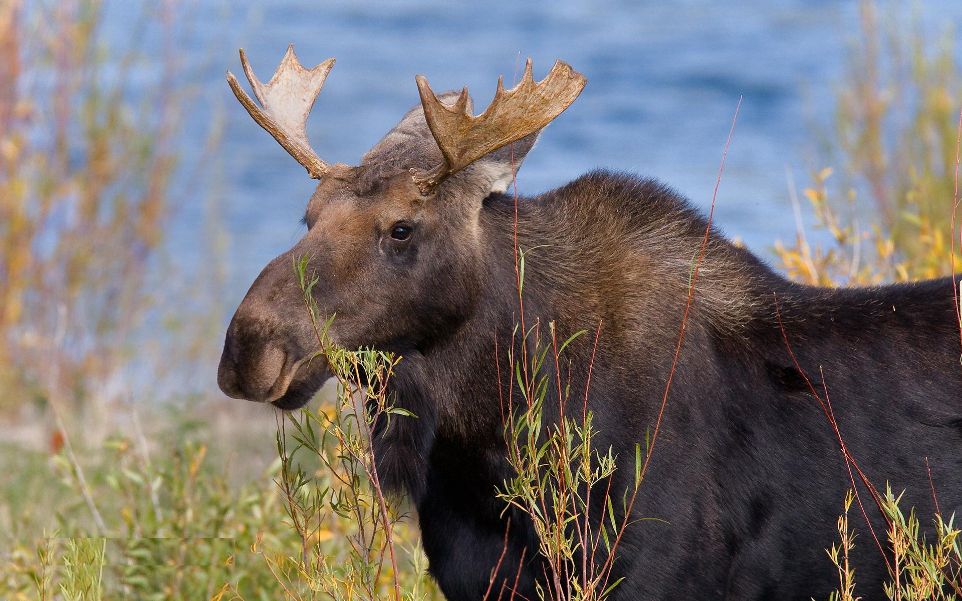free download beautiful hd wallpapers of moose lovely painting of moose