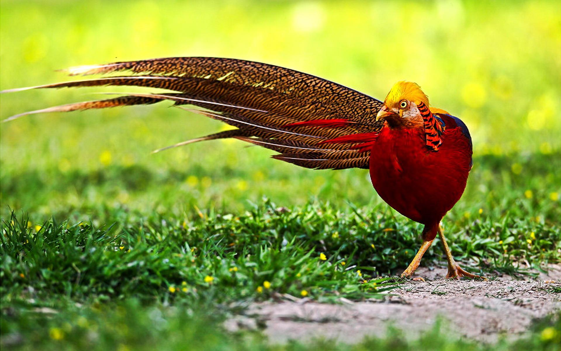 Lovely Pheasant Wallpaper 15430