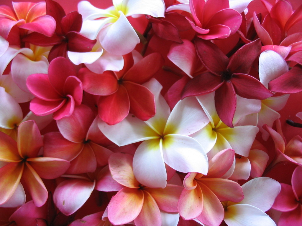 Lovely Plumeria Wallpaper
