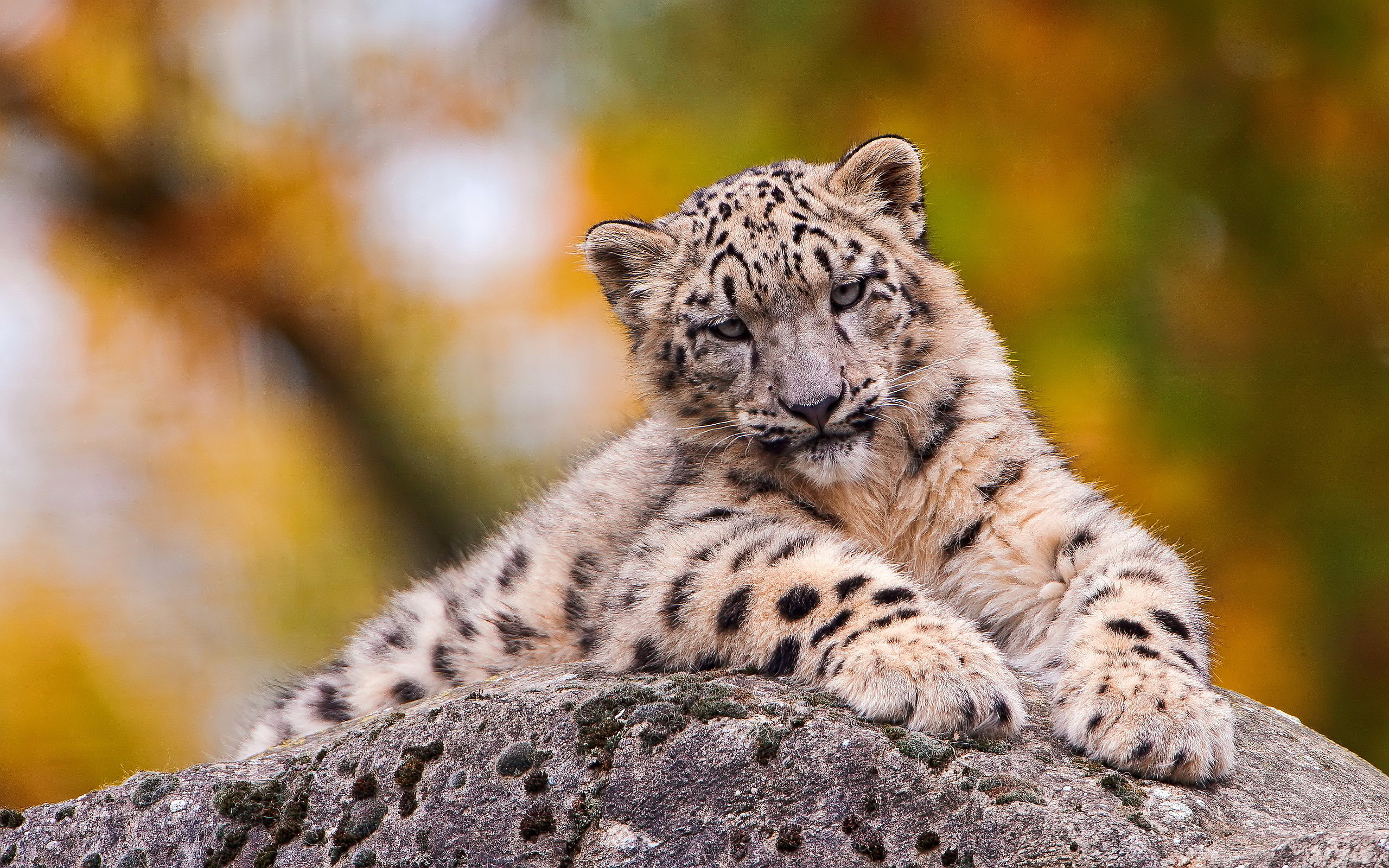 Lovely Snow Leopard