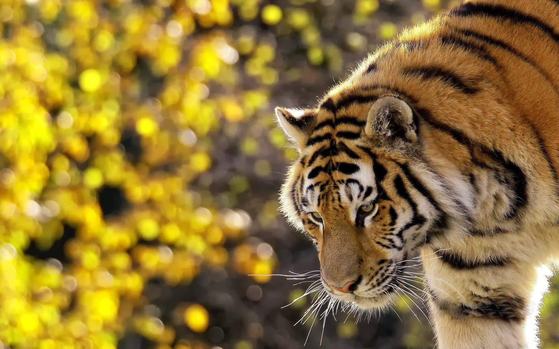 Lovely Tiger Wallpaper