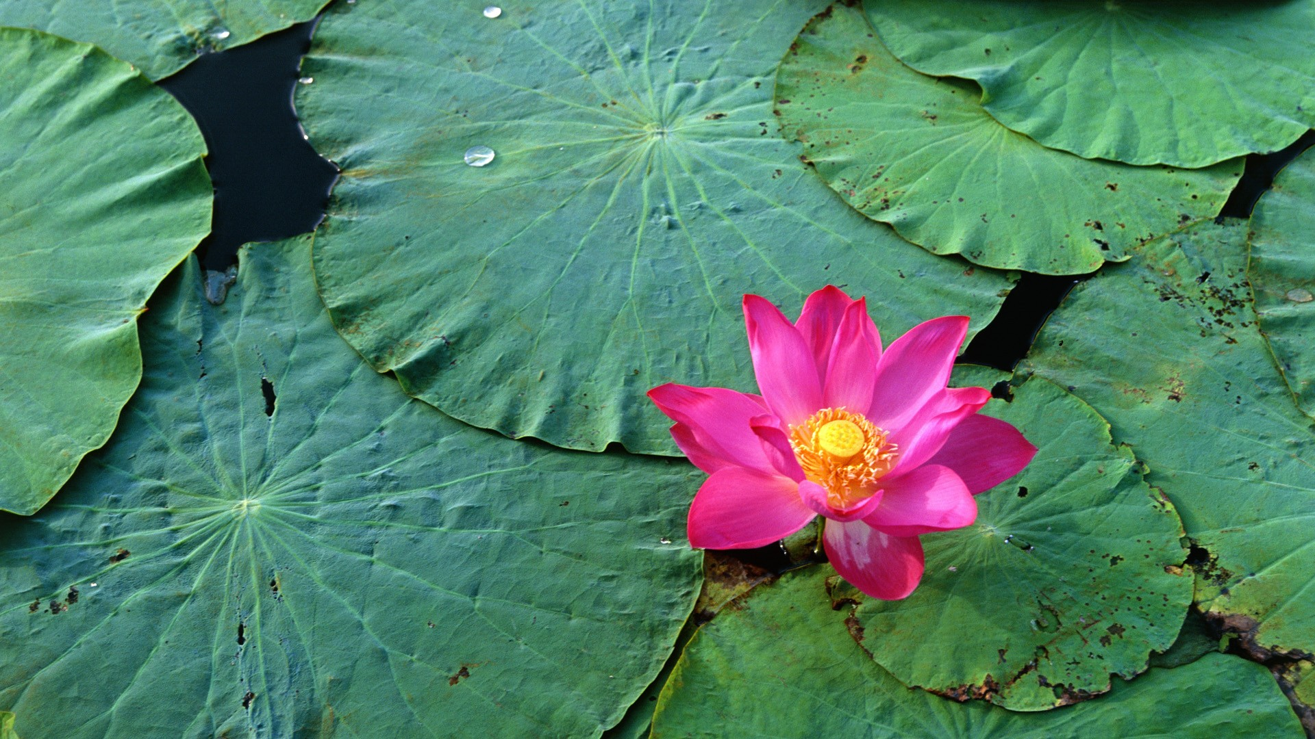 Lovely Water Flower Wallpaper