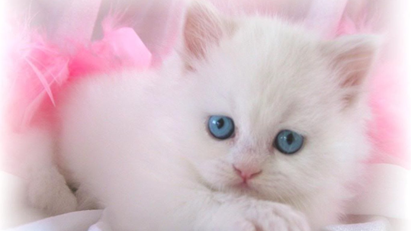 White-Cat-Wallpaper-HD